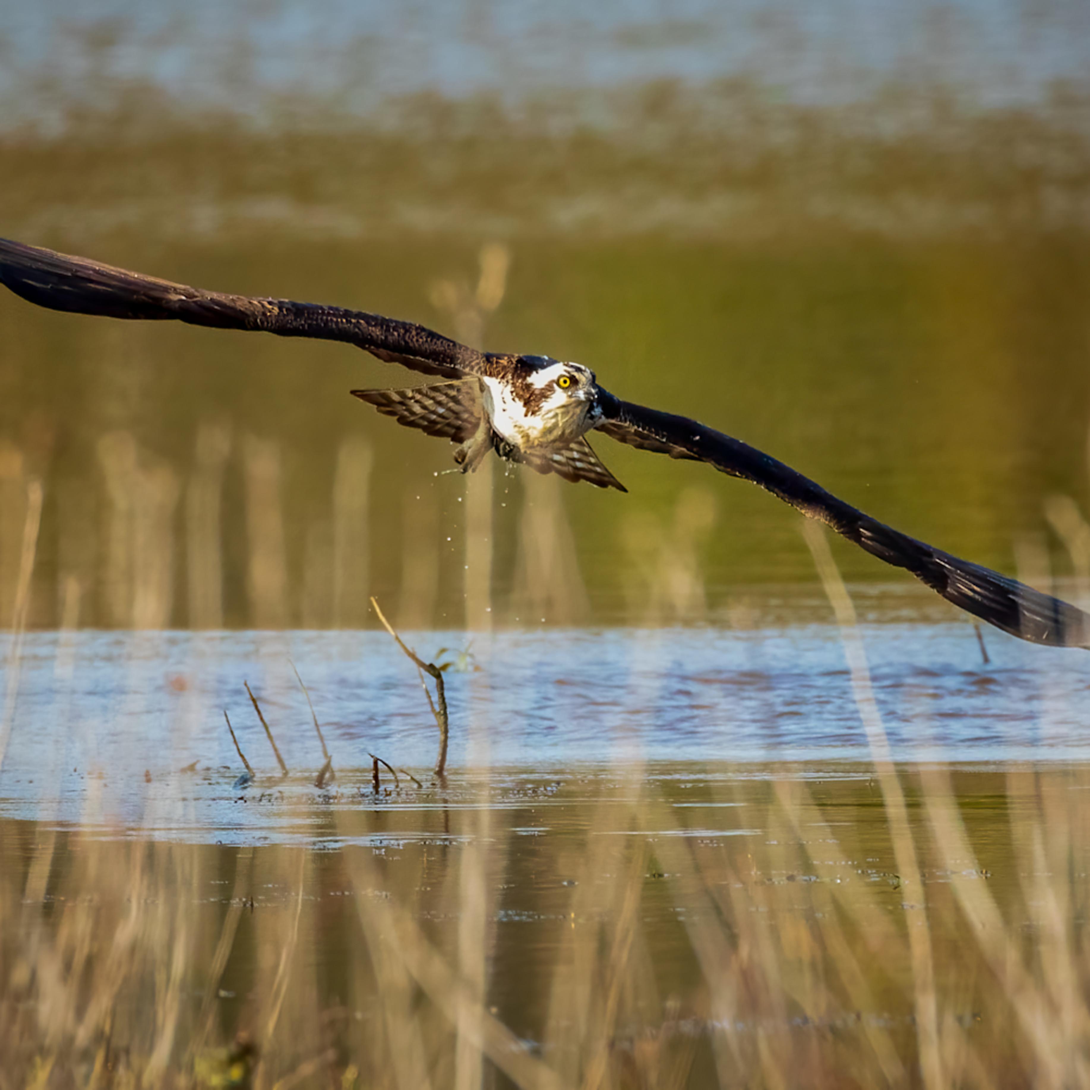 Osprey misses its target o7atsd