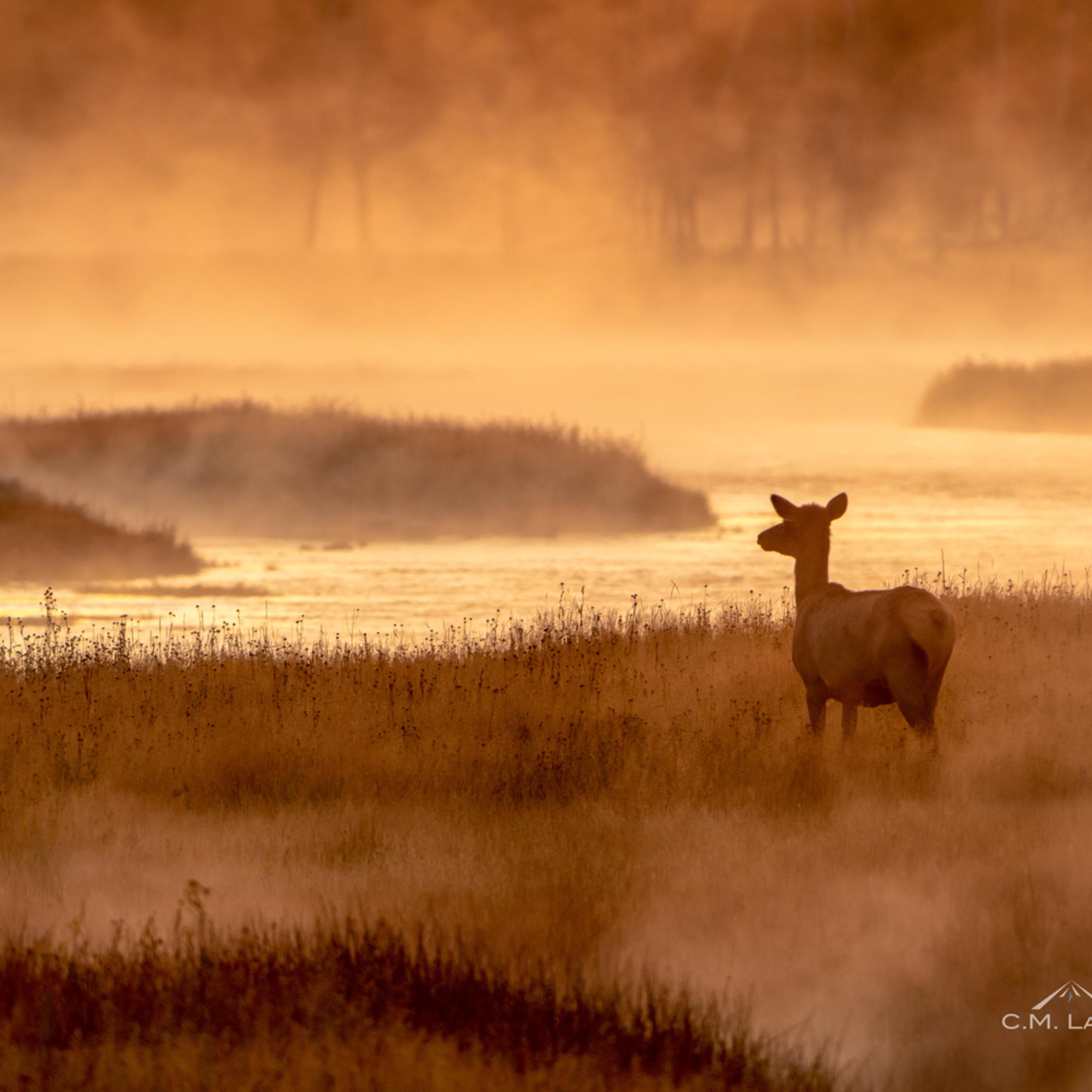 Elk in the mist   u99hh5