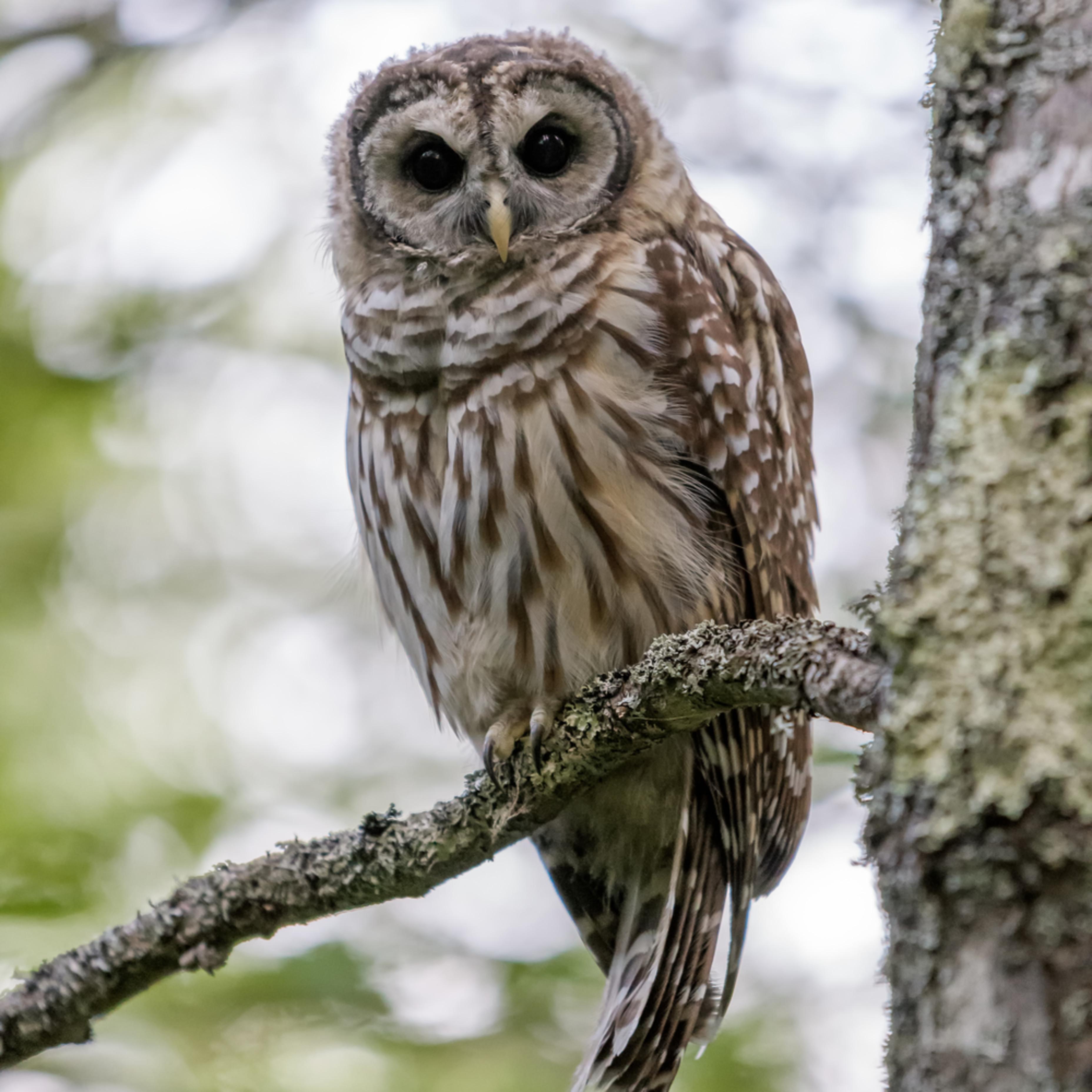 Acadia s barred owl l4dg9j