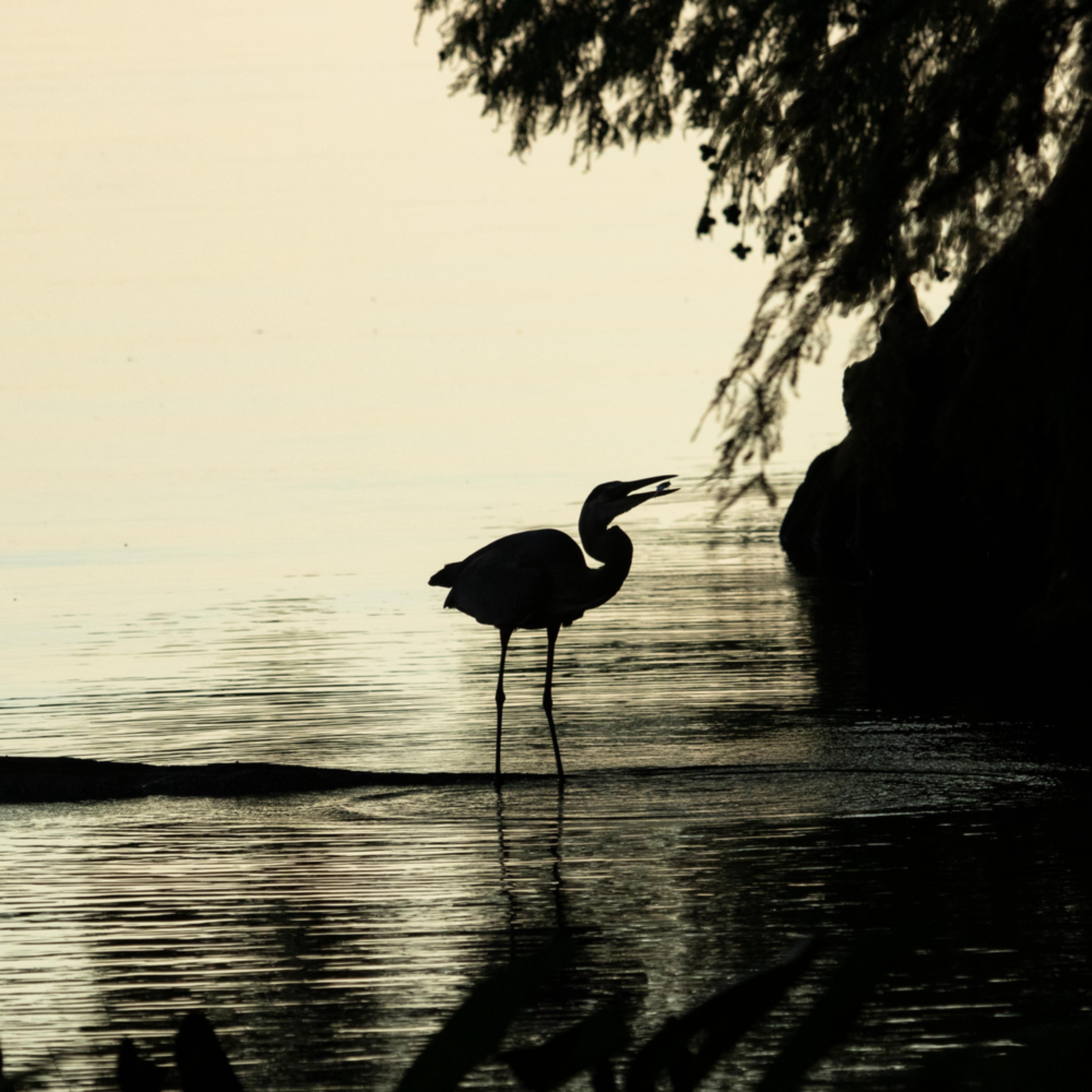 Heron silhouettes mg 7454 srm20 dbxwrx