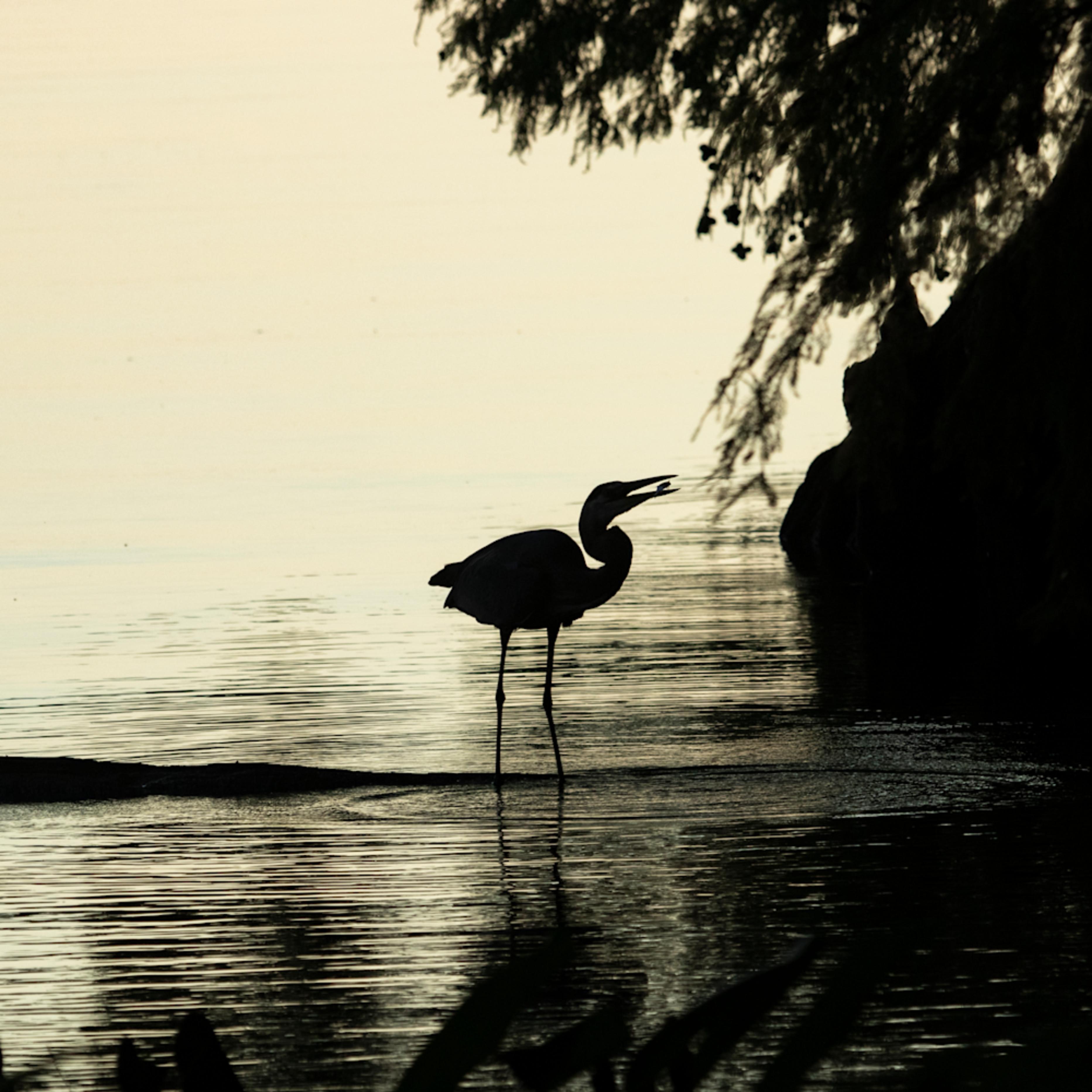 Heron silhouettes mg 7454 srm20 gqwvmn