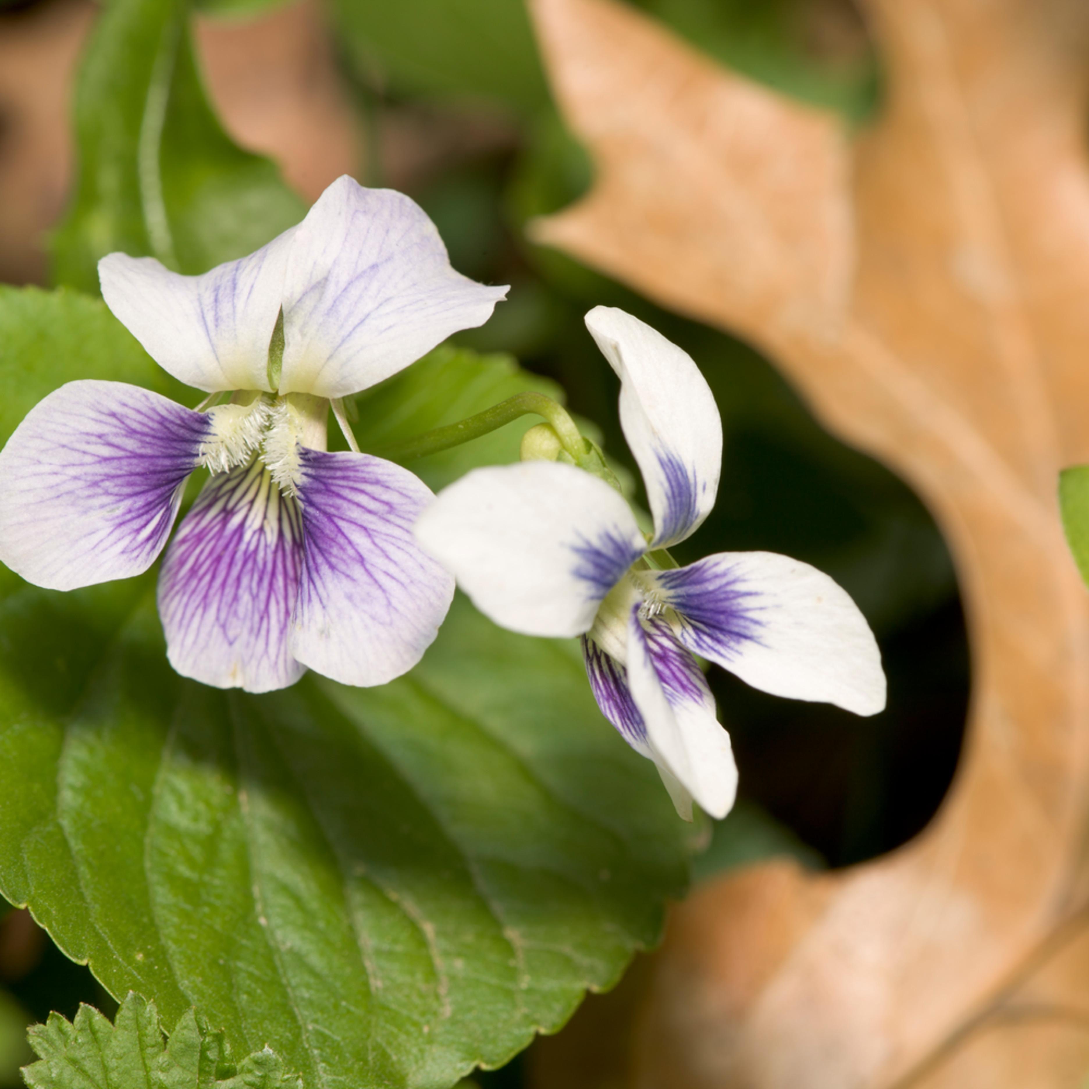 White violet 2044 zbwwzl