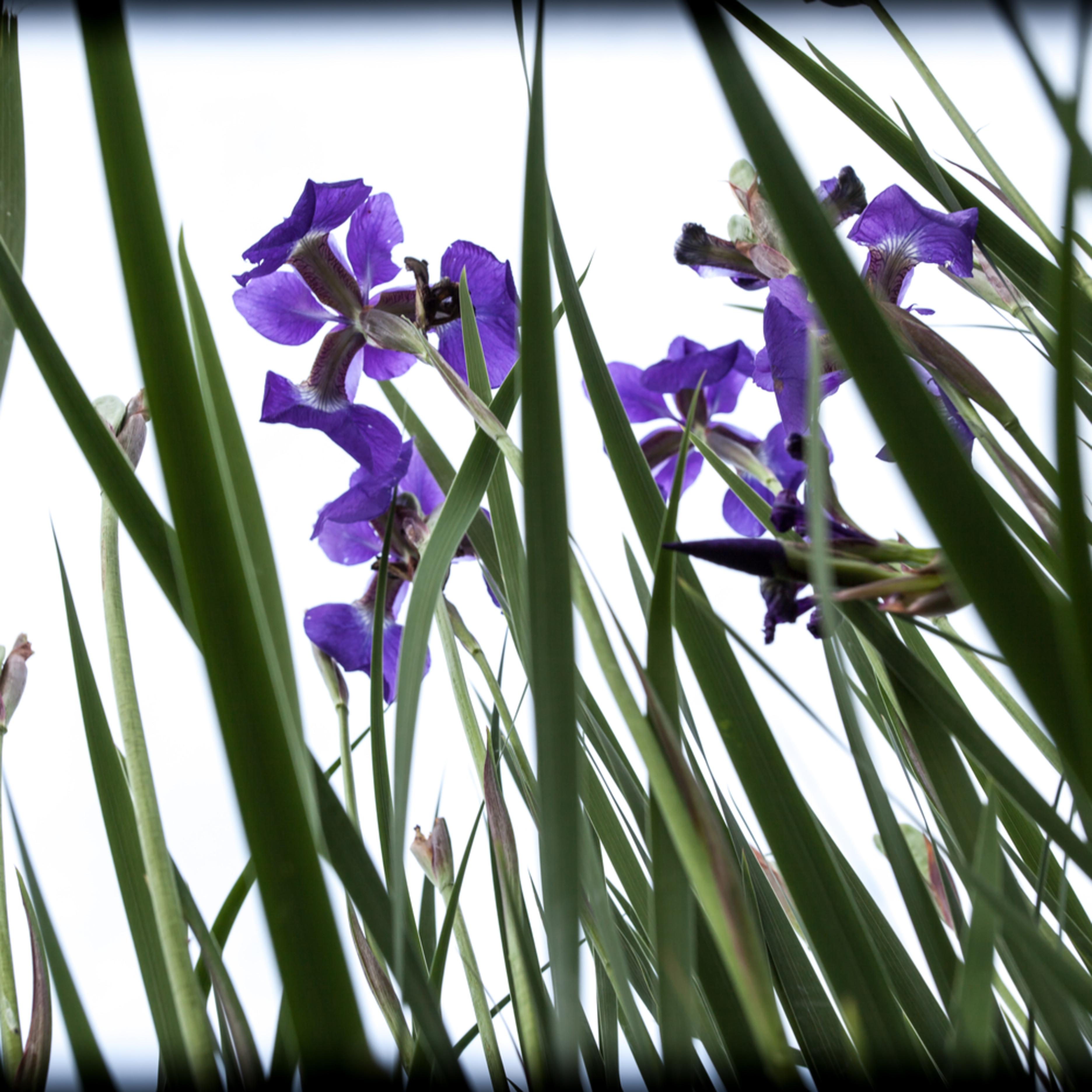 Iris 2641 fgxcfy