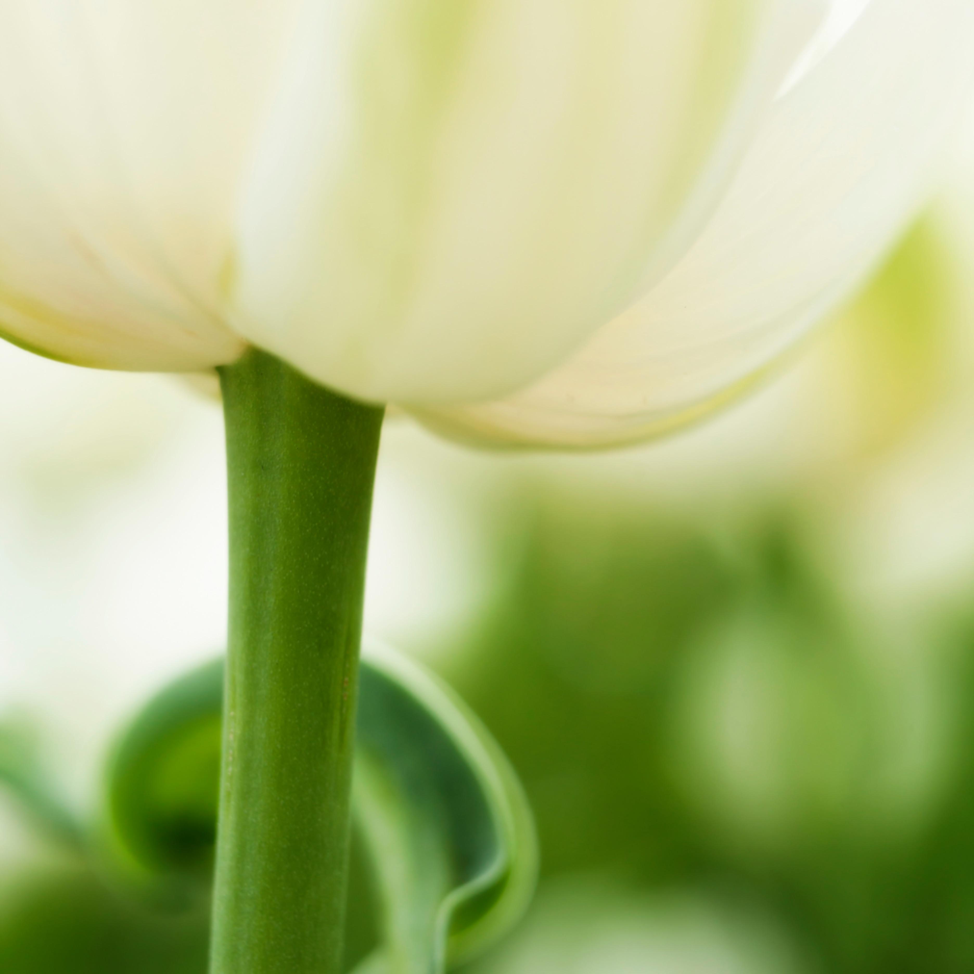 Tulipa.tulip.7927v3 ogydji