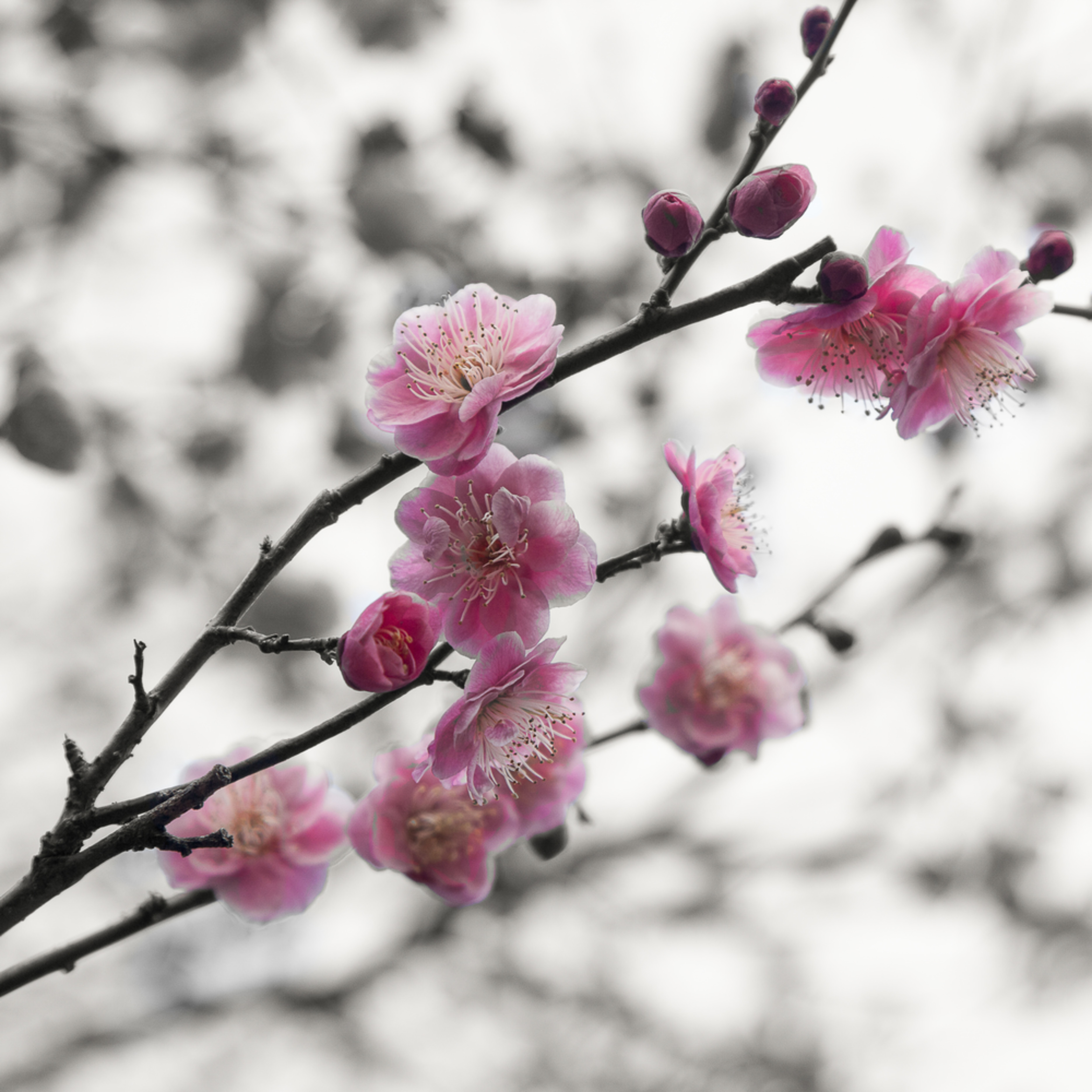 Cherry blossoms japan zvnesd
