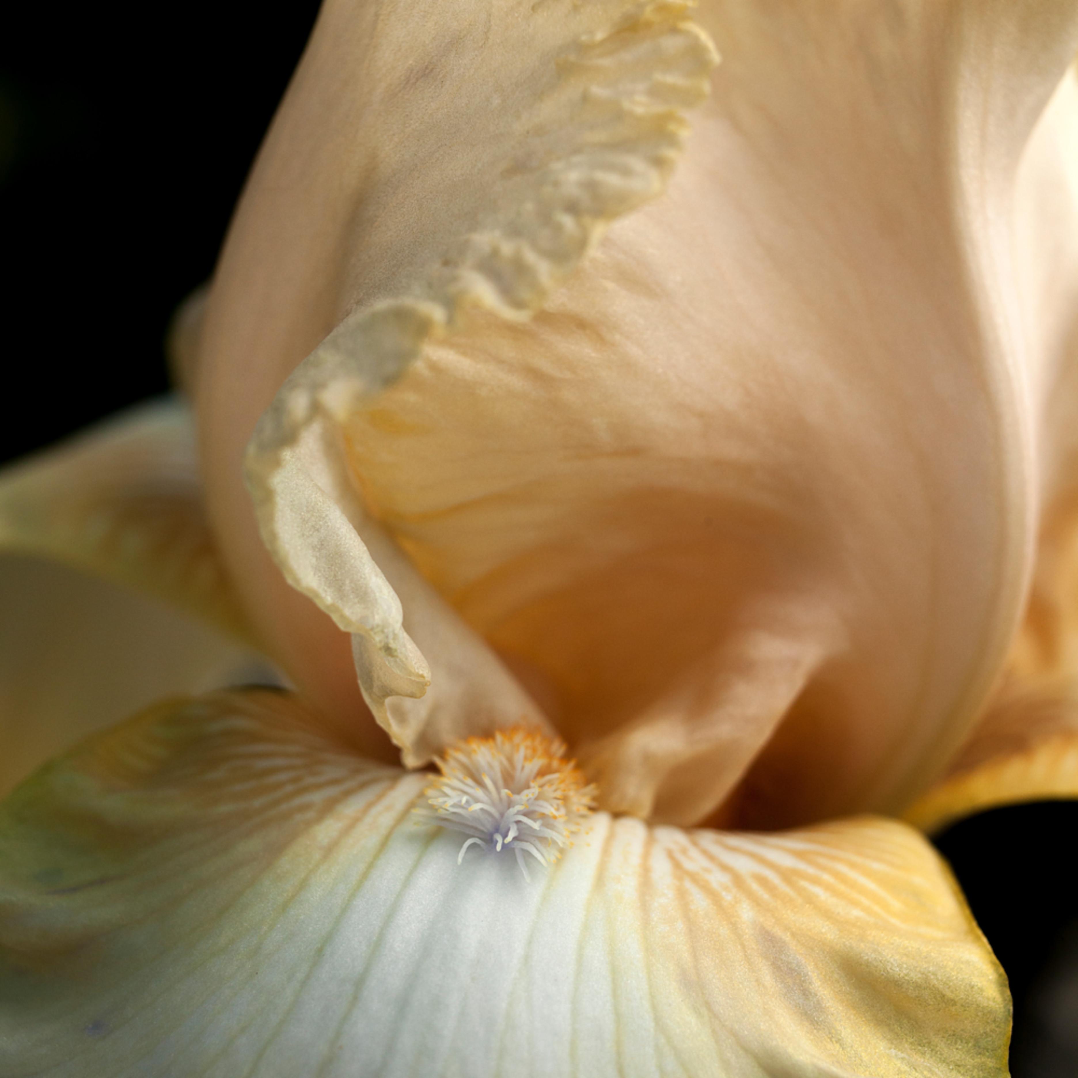 Iris.tallbeardediris.9741v2 gr94ax