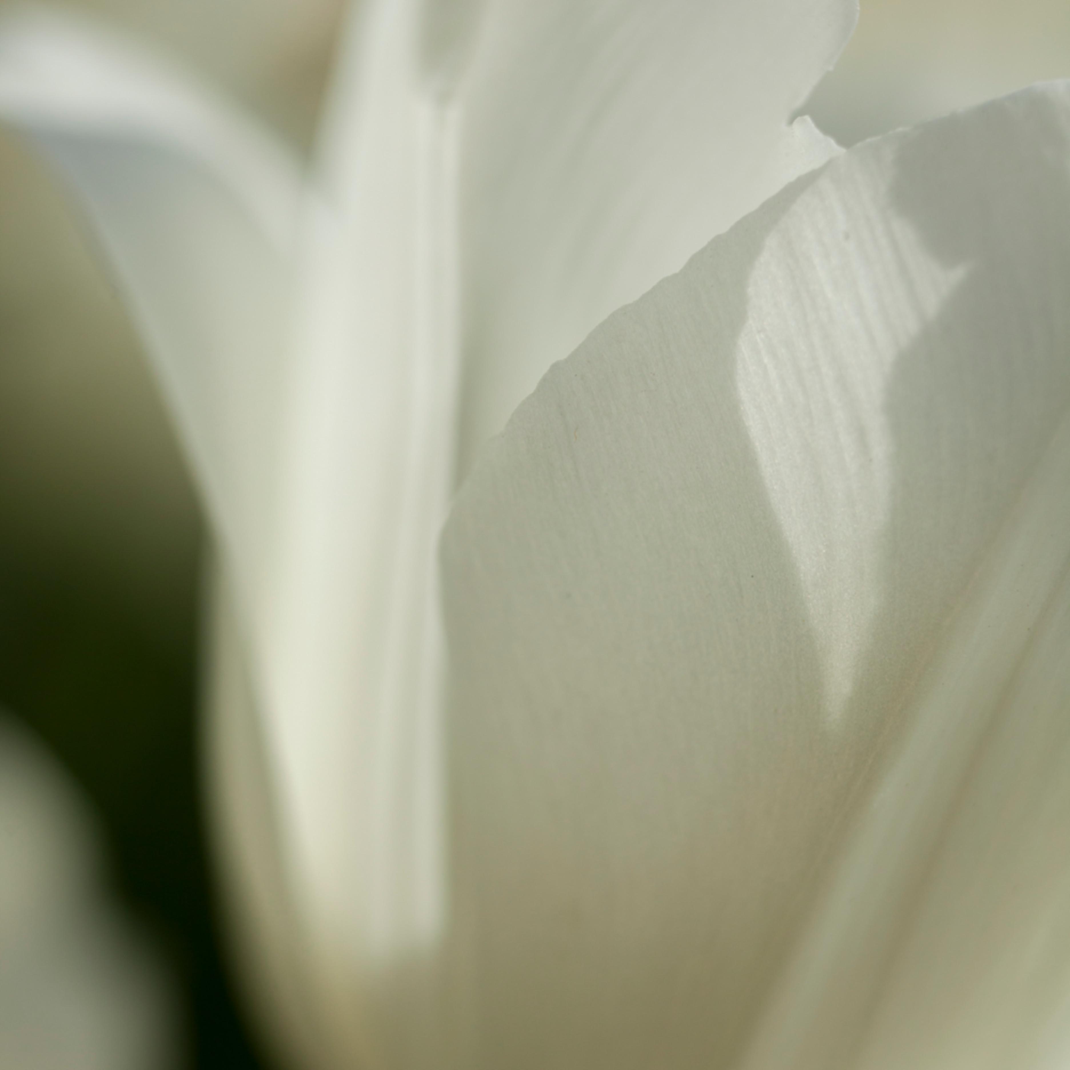 Tulip 7894 icyt4a