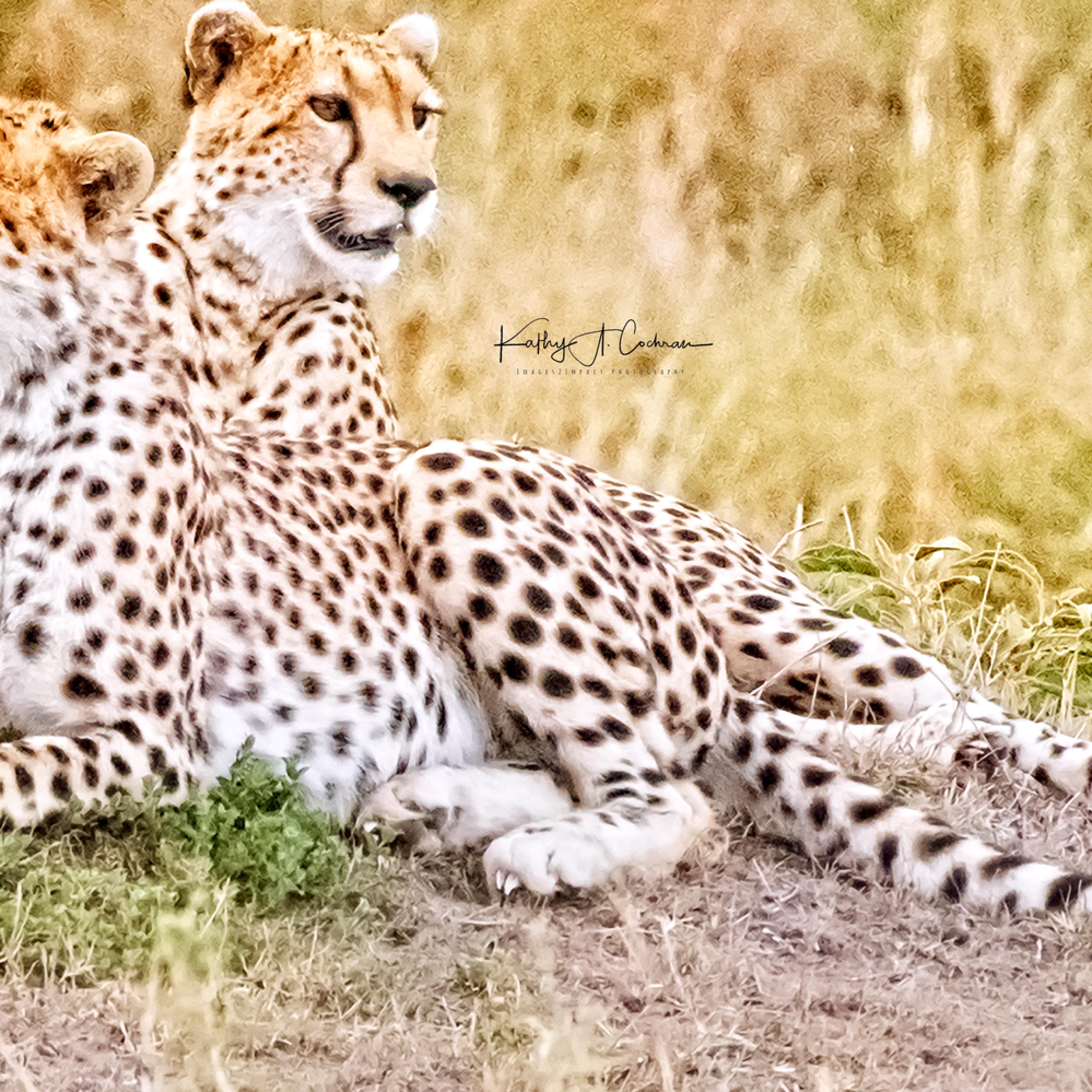 Cheetah brothers zawvfb