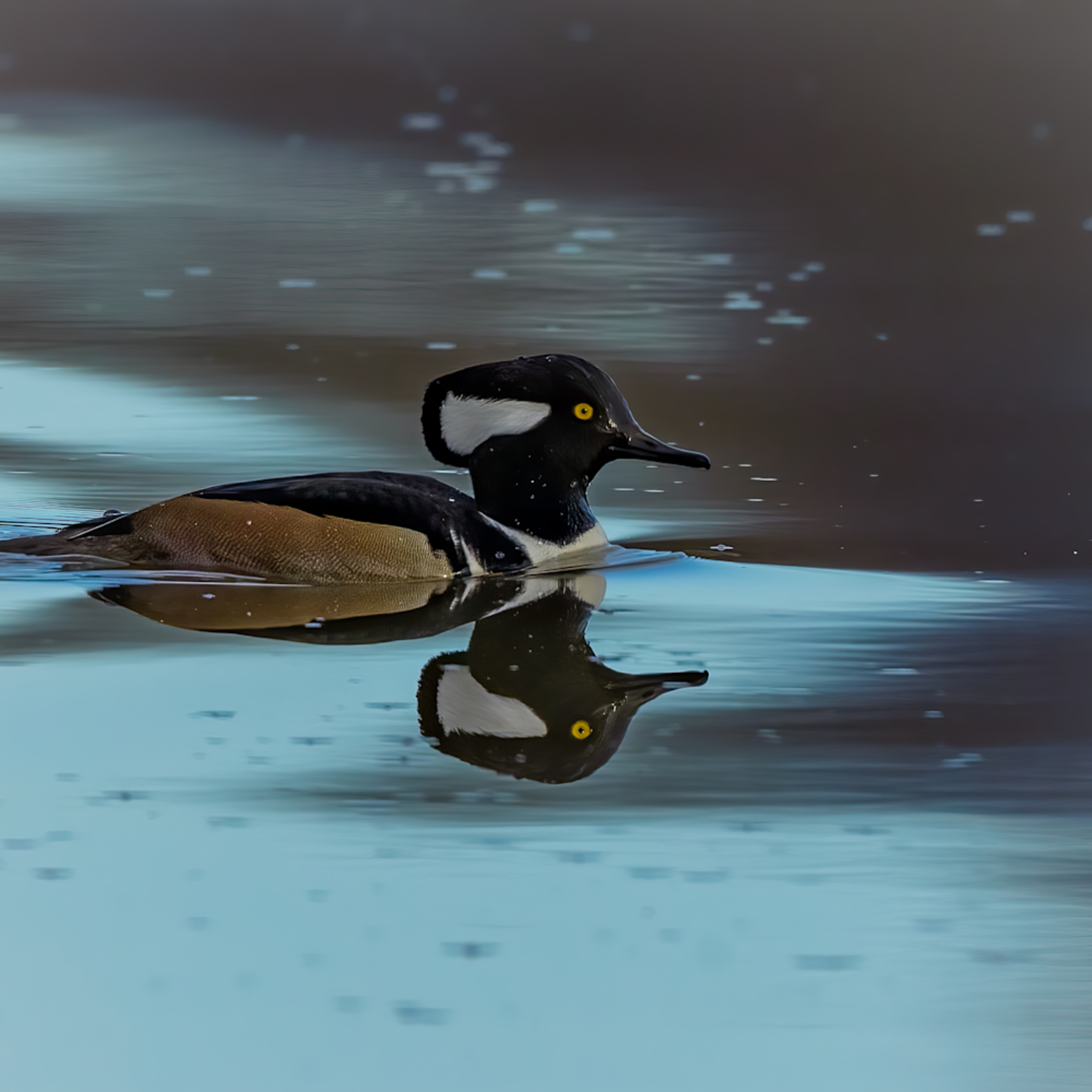 Hooded merganser swimming in blue water with reflection fzbsvz