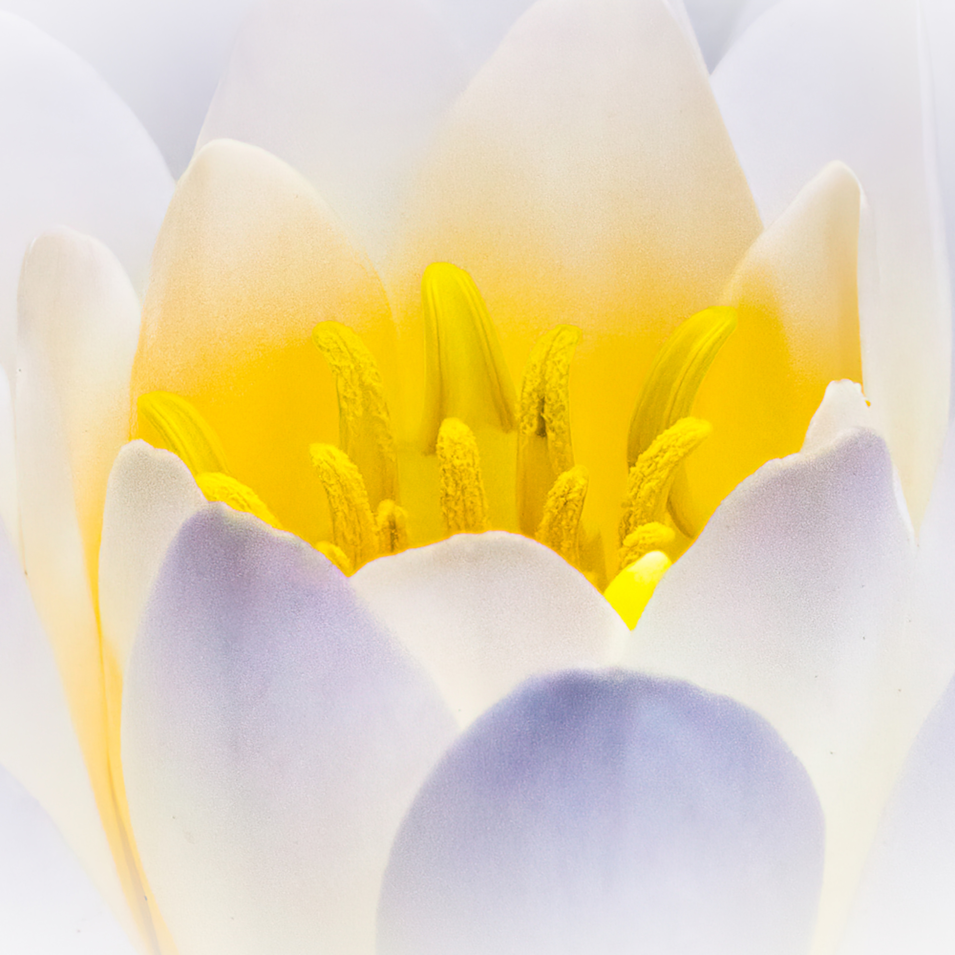 Water lily macro kyunsg