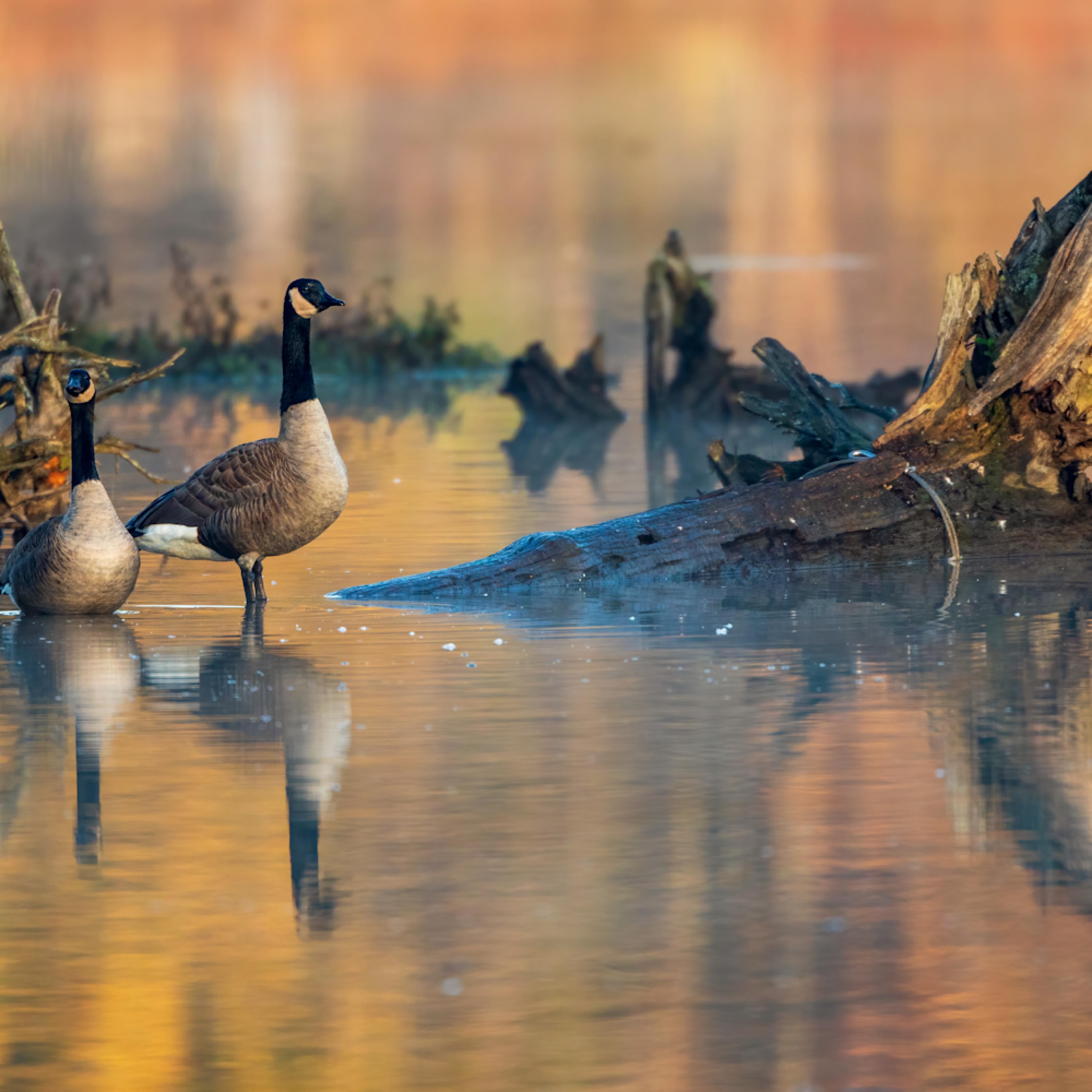 Golden hour geese copy kp3qgk