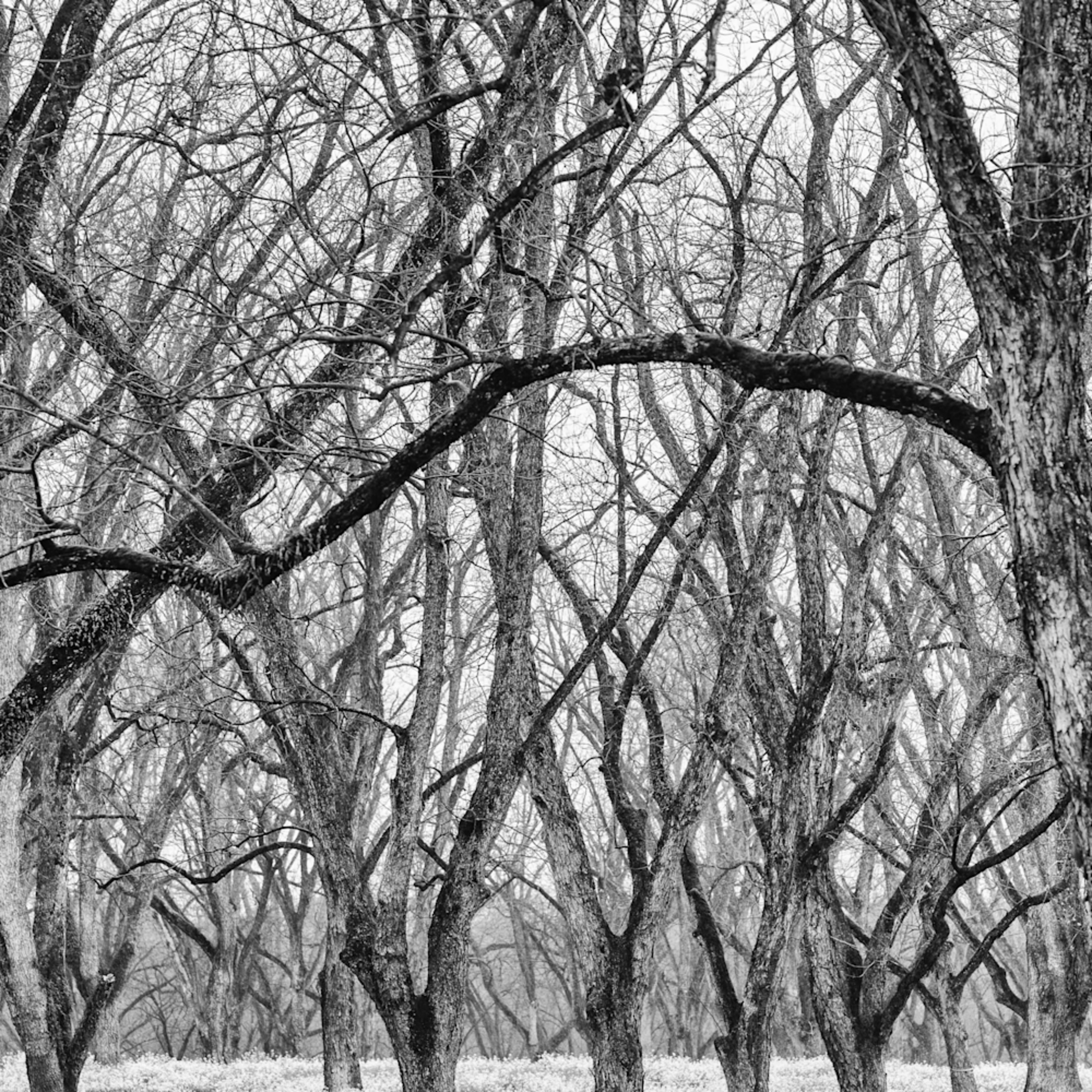 Trees  49 sppoak