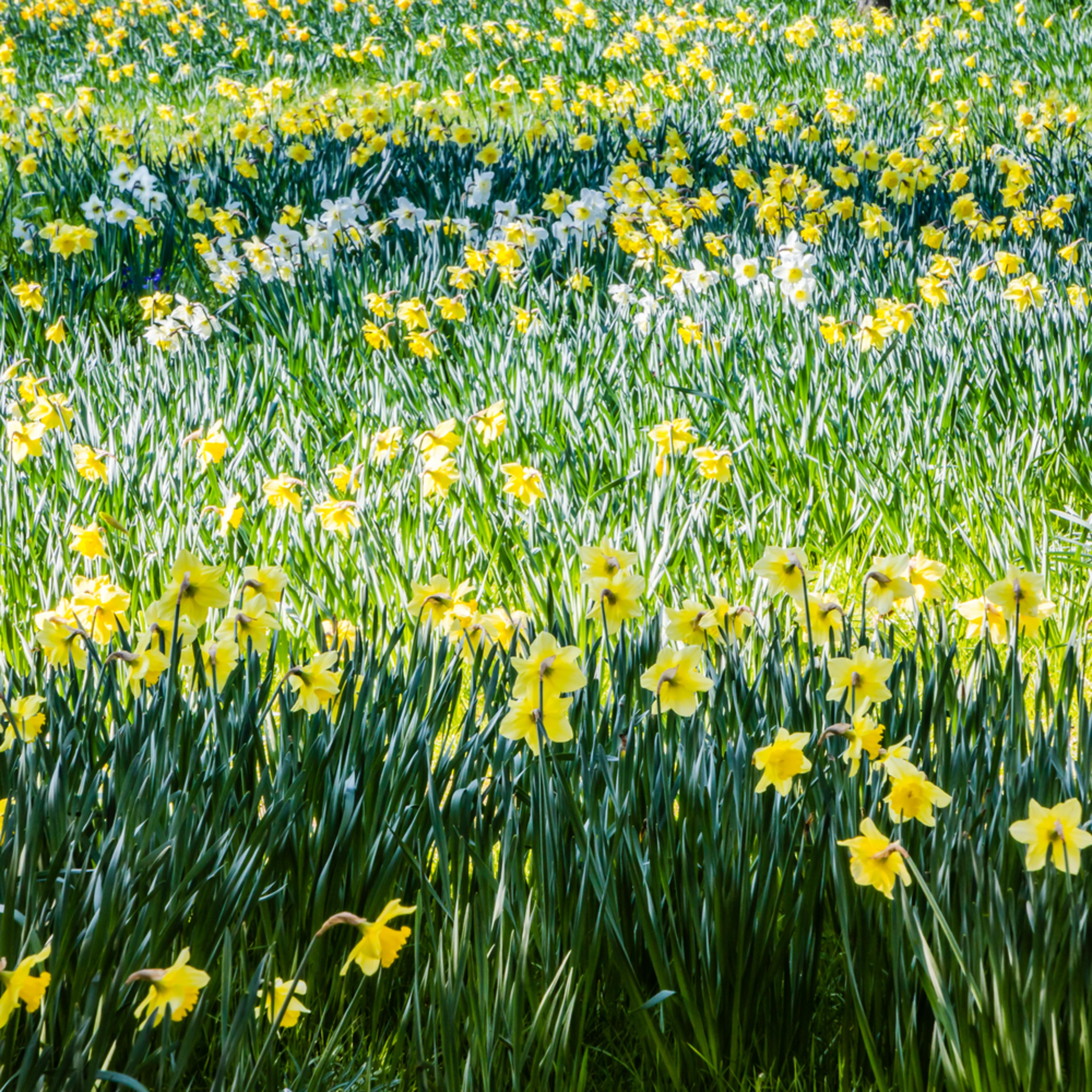 Daffodills qo6tix