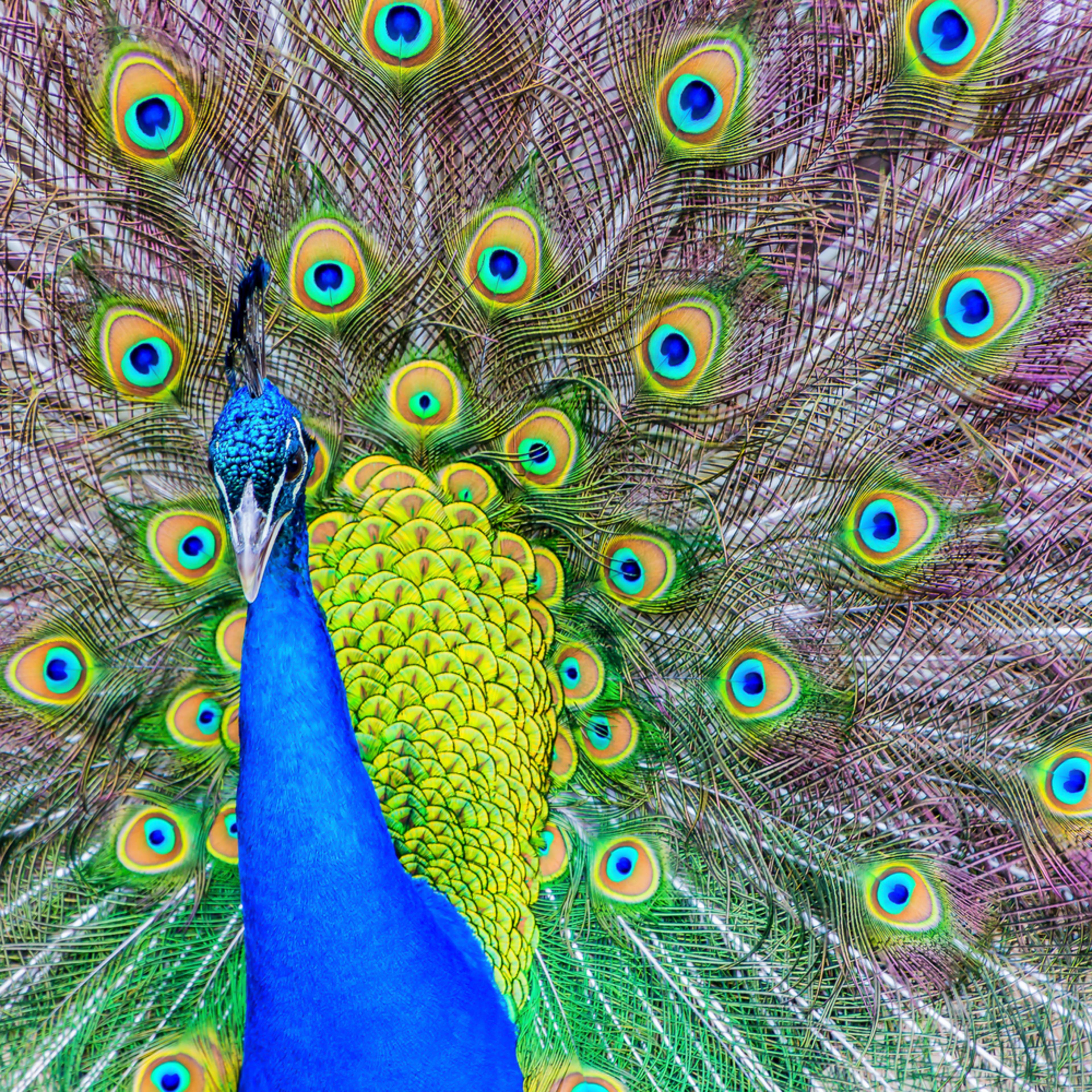 Peacock chka4r