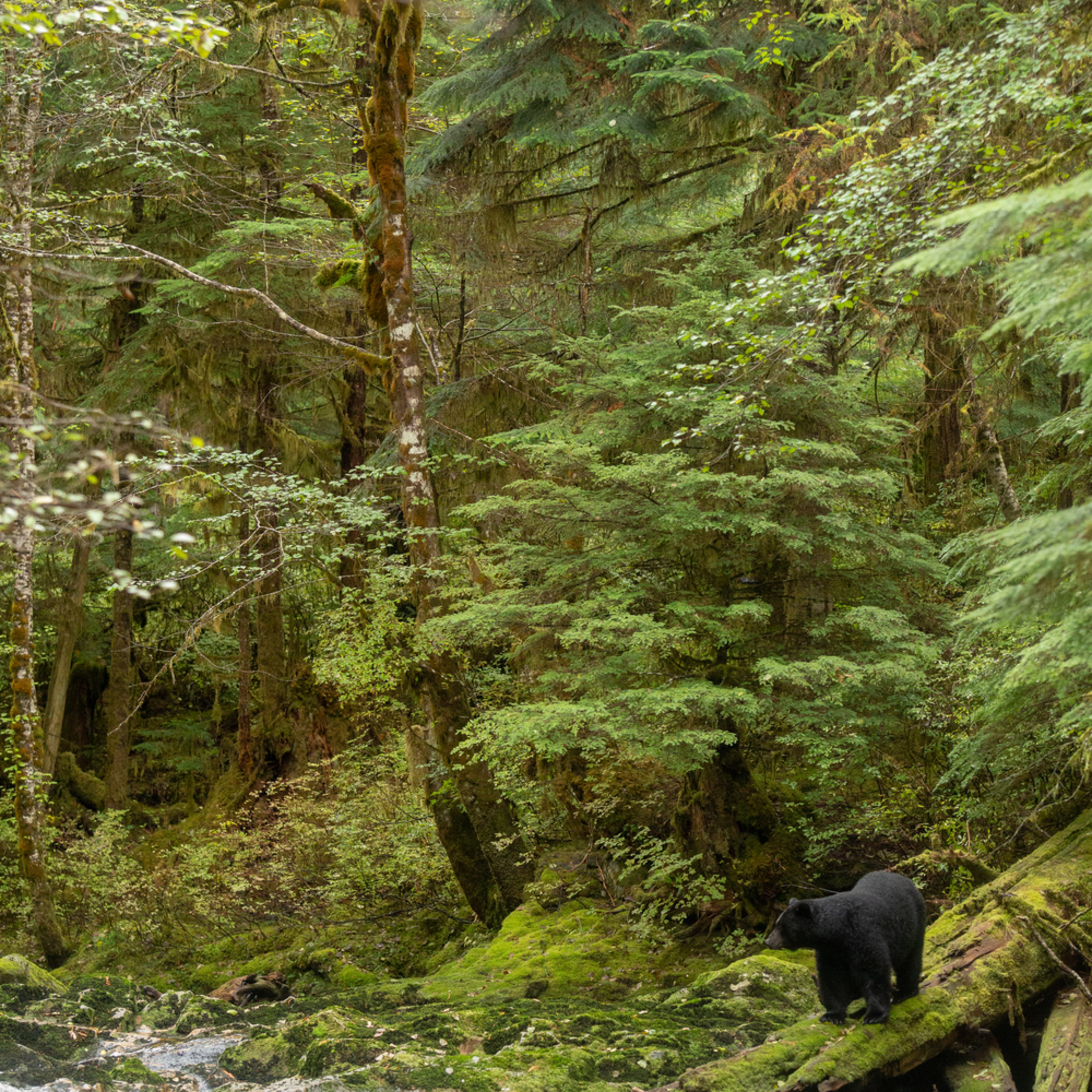 Great bear rainforest october 10 201804487 tucjmr