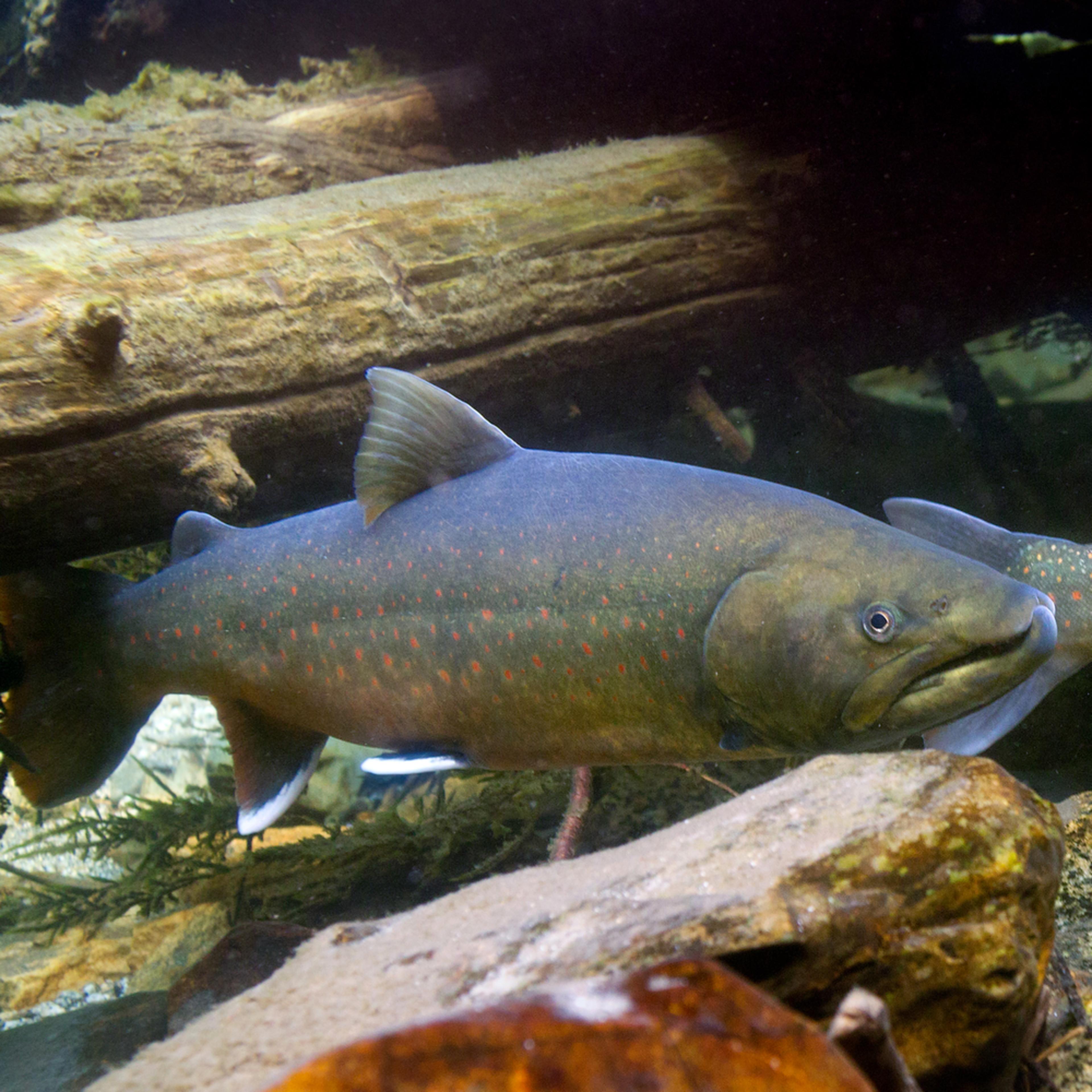 Bull trout  crpd fix 2531 mxjiws