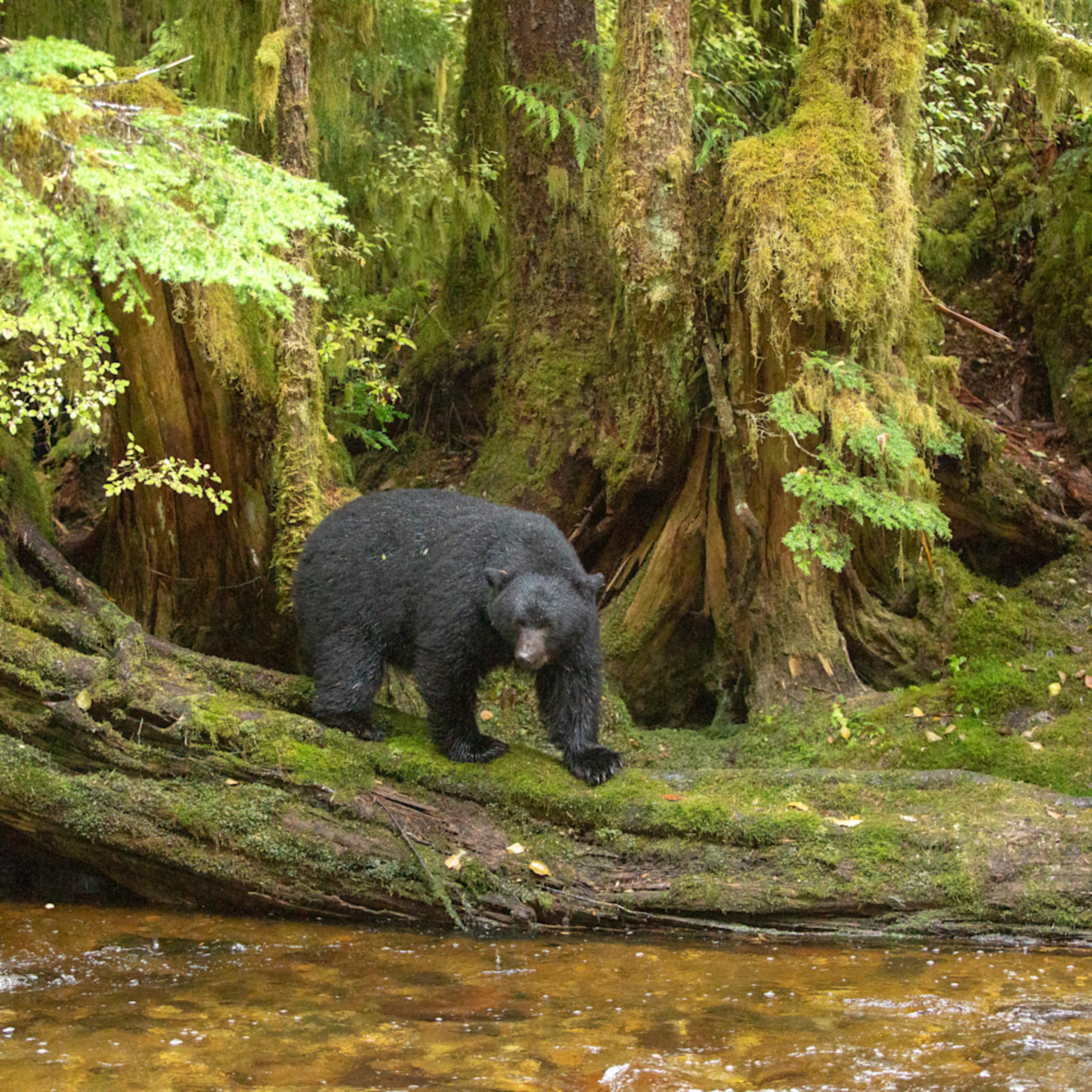 Great bear rainforest october 08 201802125 xtffx4