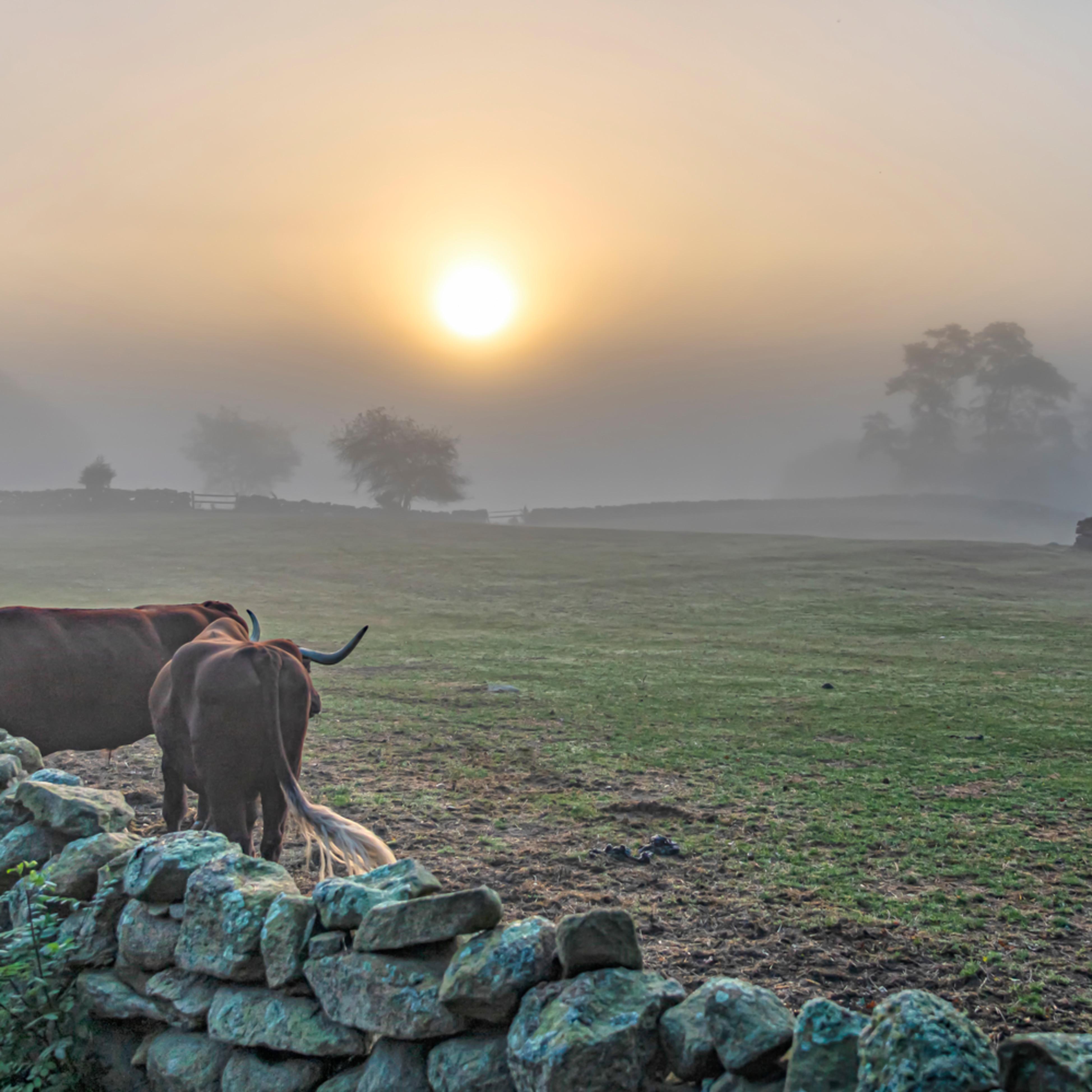 Brookside farm oxen fog yb1vwl