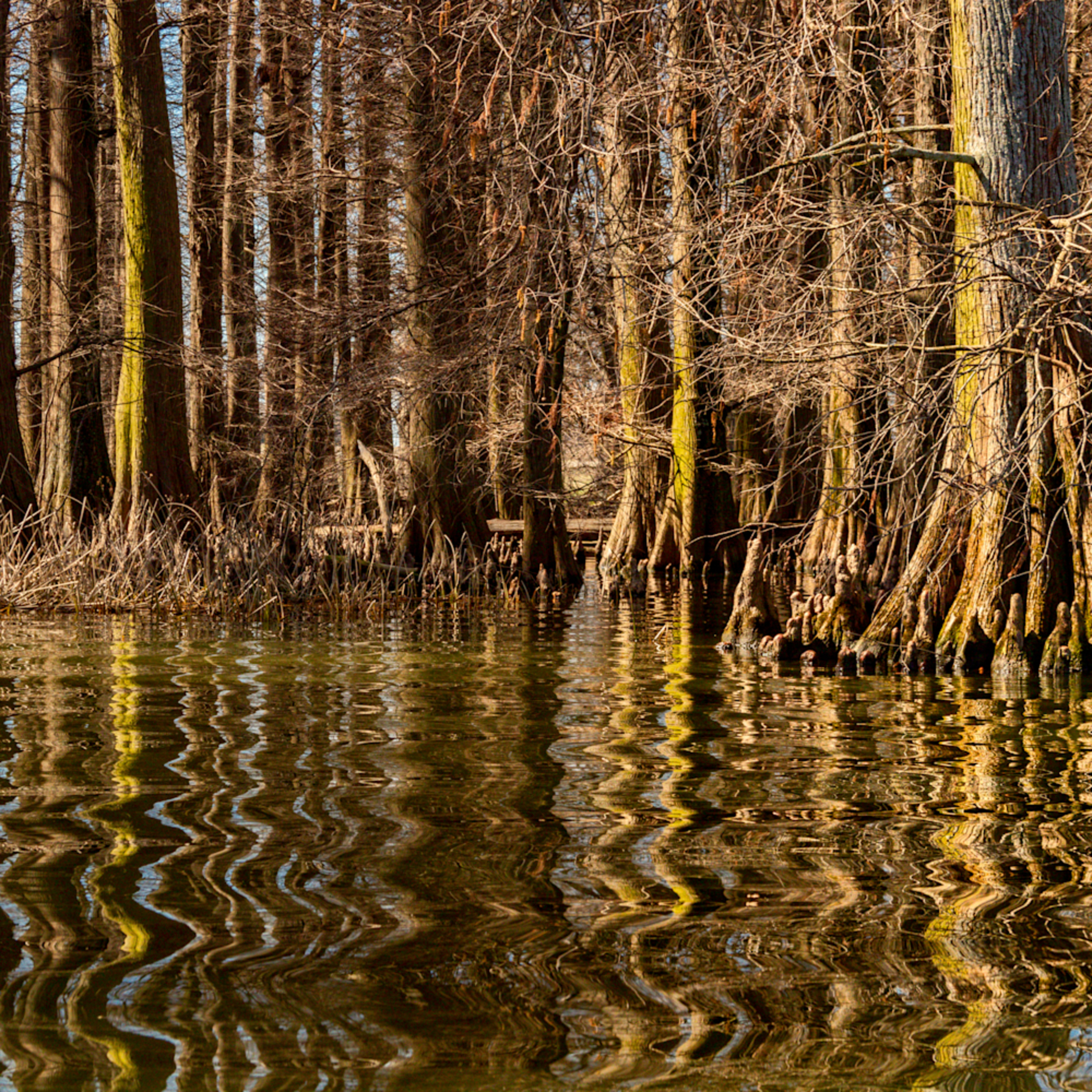 Cypress trees reflection reelfoot lake 5472fs healthcare art mbunc4