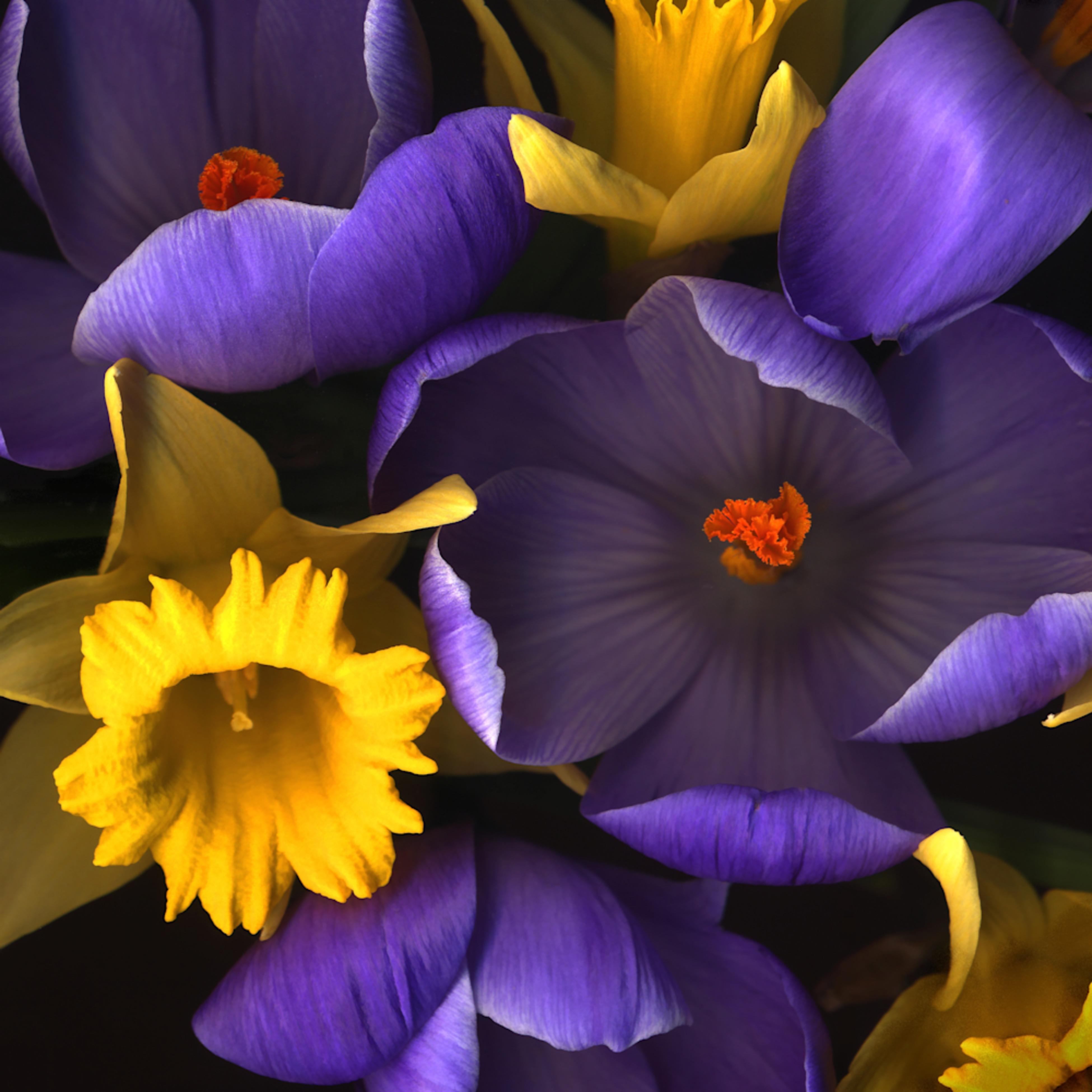 Daffodile crocus closeups lrg1620 fs fy73sl