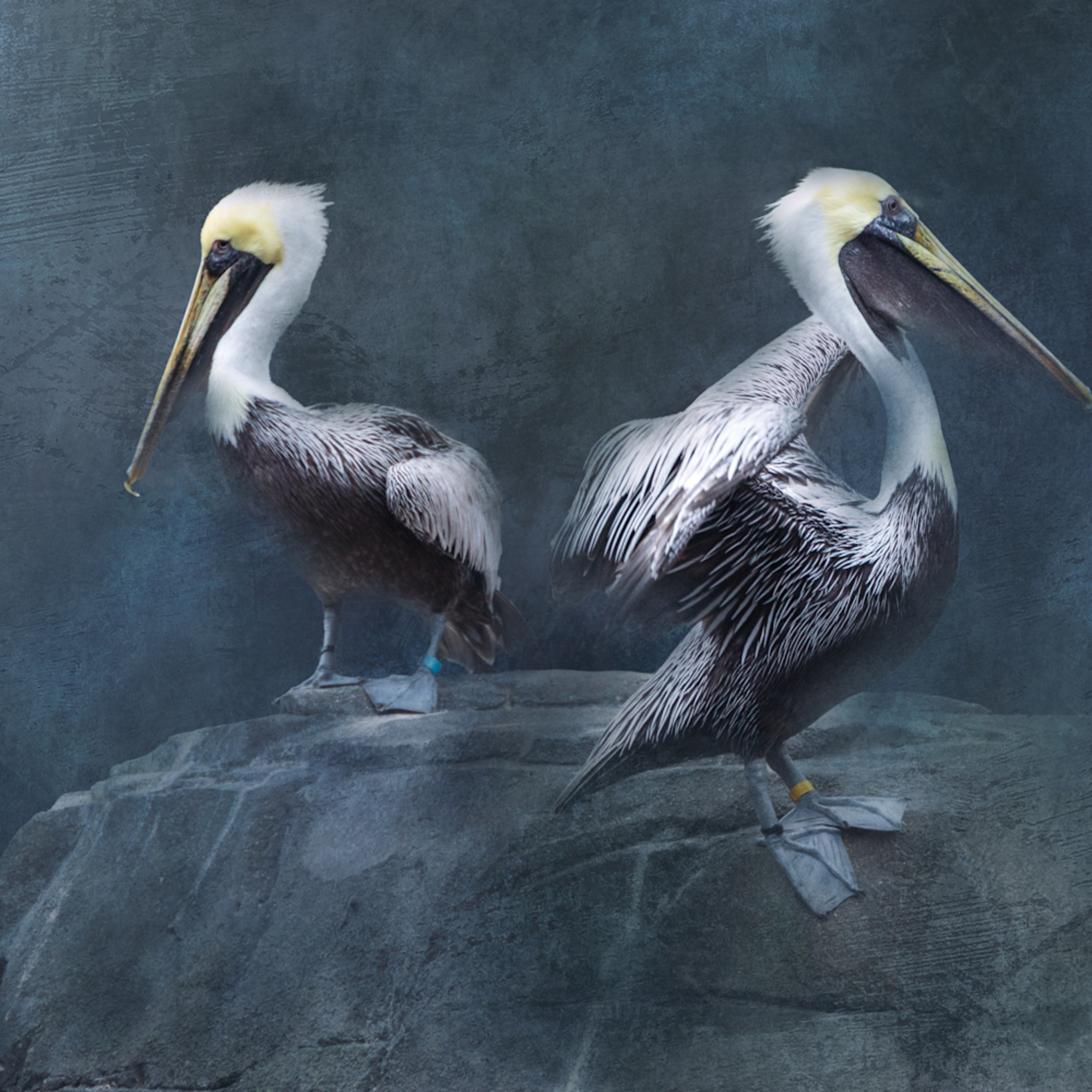 Brown pelicans on textured background npl6jh