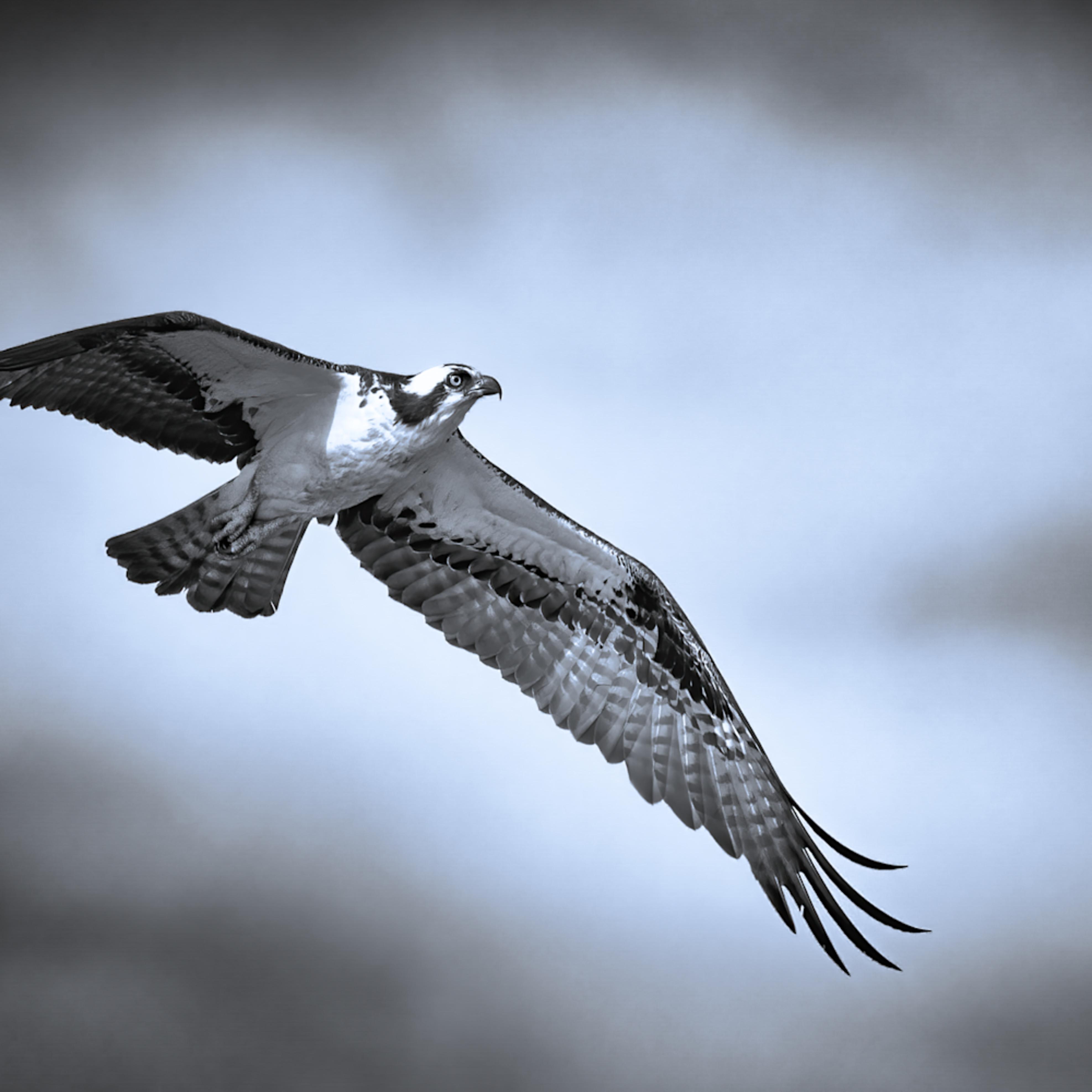 Osprey in flight b w tinted j40cqe