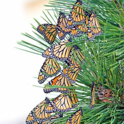 Monarchs10 17 2005 12 15 13 pm 0005sharpweb tshgaj