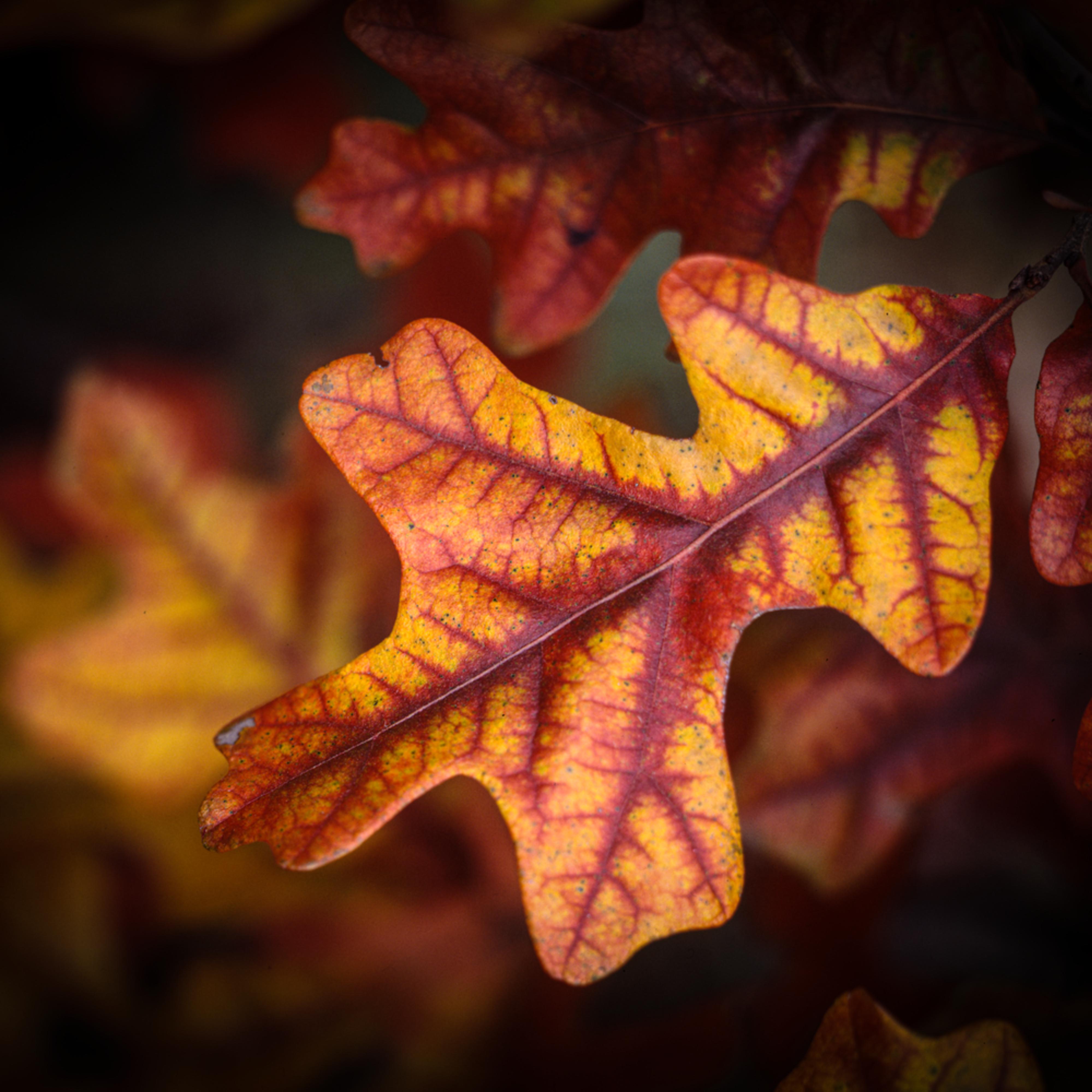 Post oak leaf edvzcn