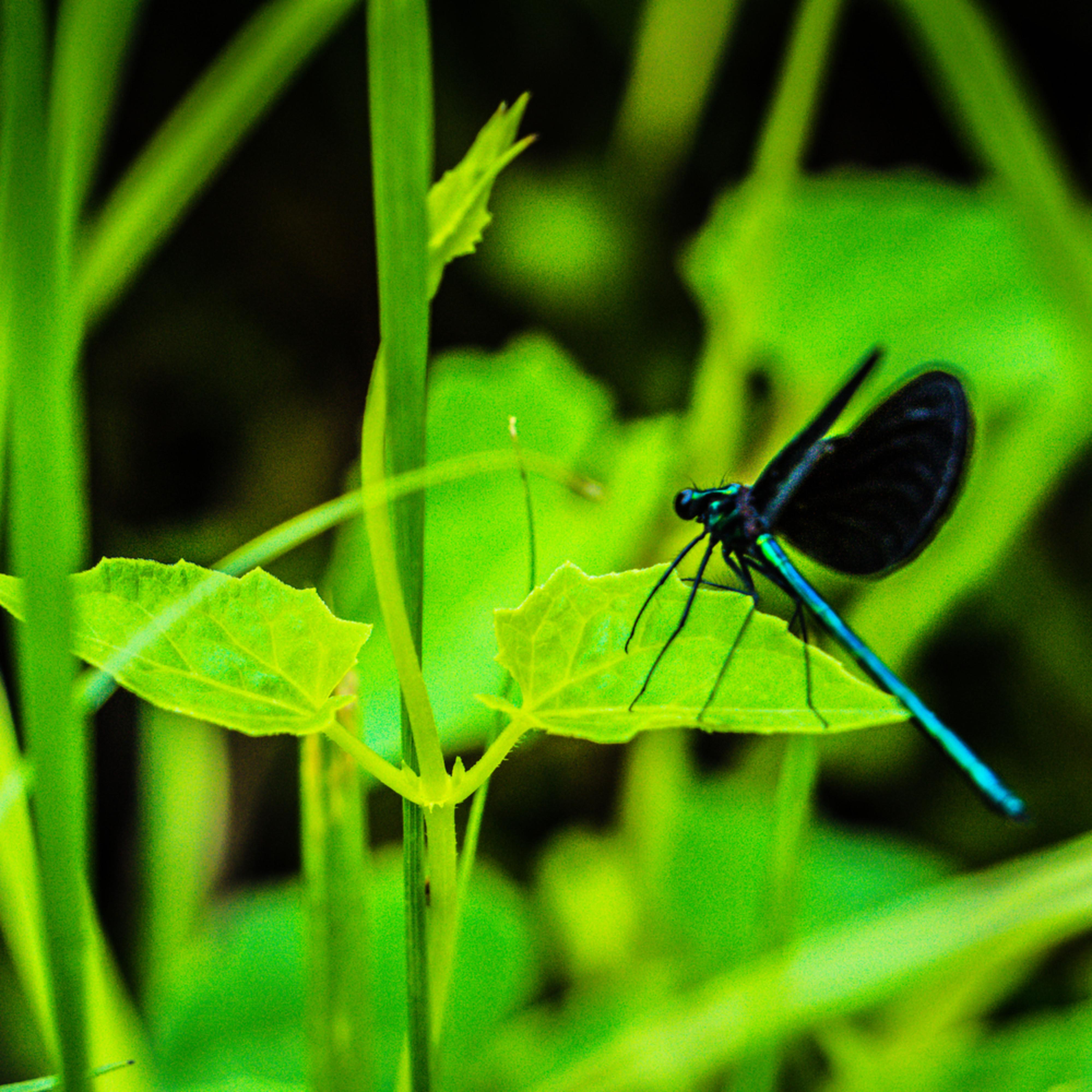 Blue dragon fly dsc03416 lg d5cyxd