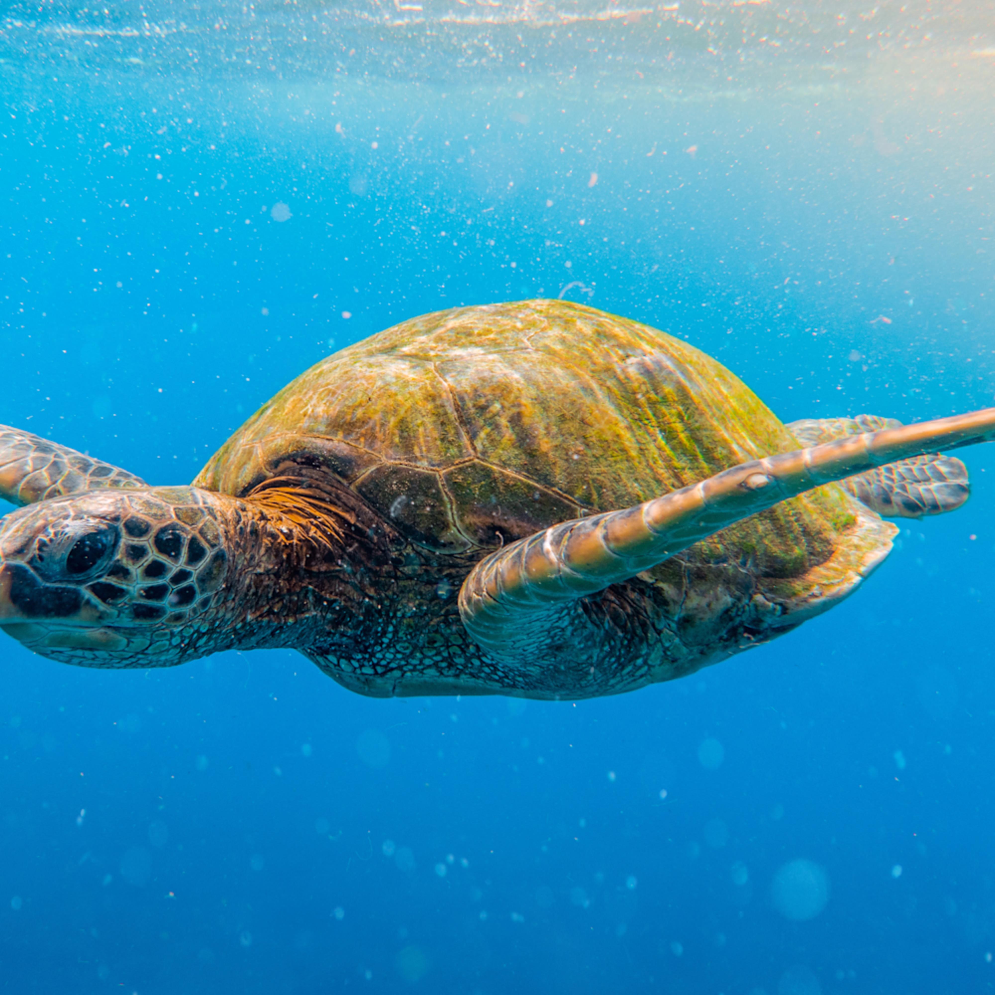 Jesssantos bealphahawaii turtle 3 b90dea
