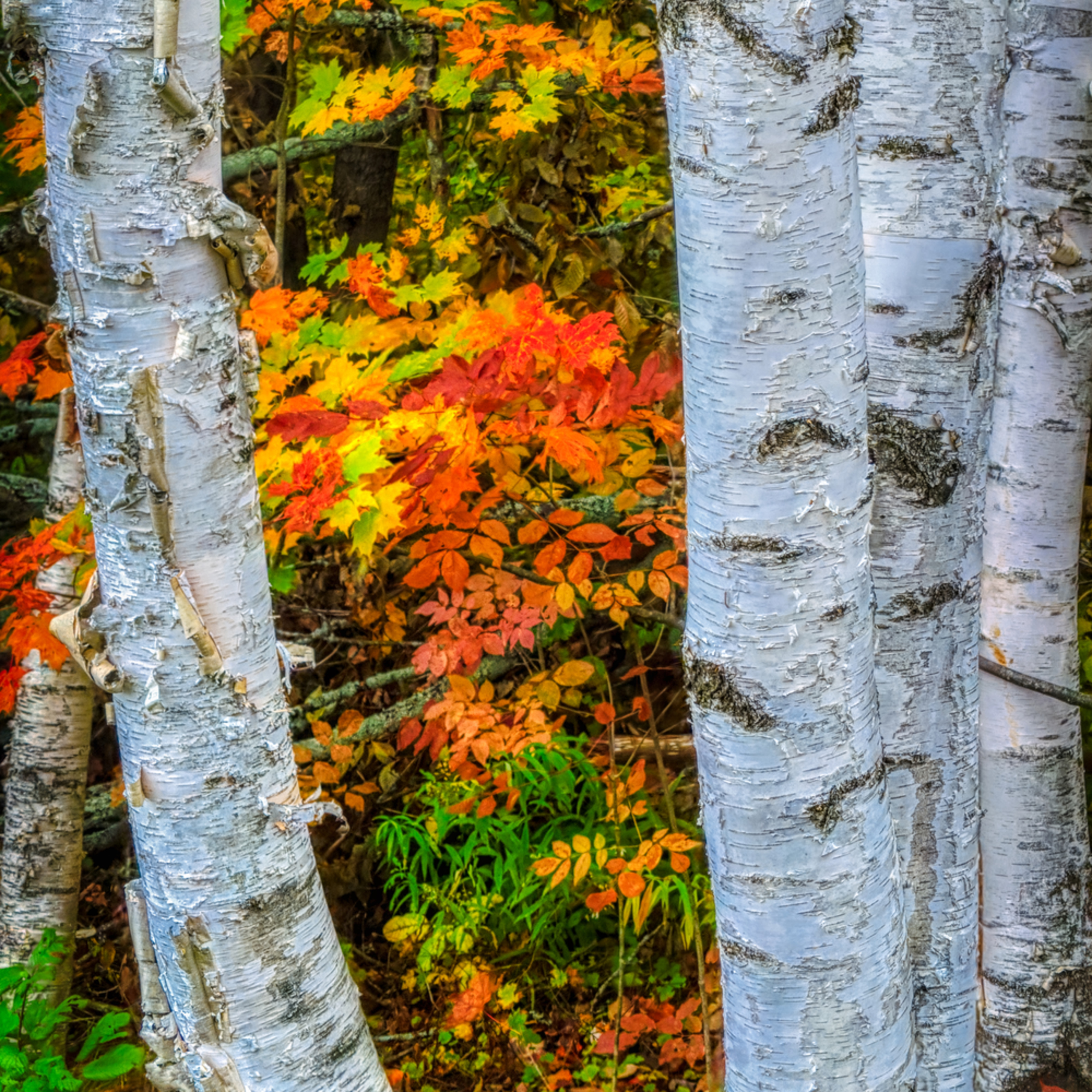 Fall birch trees gsggvh