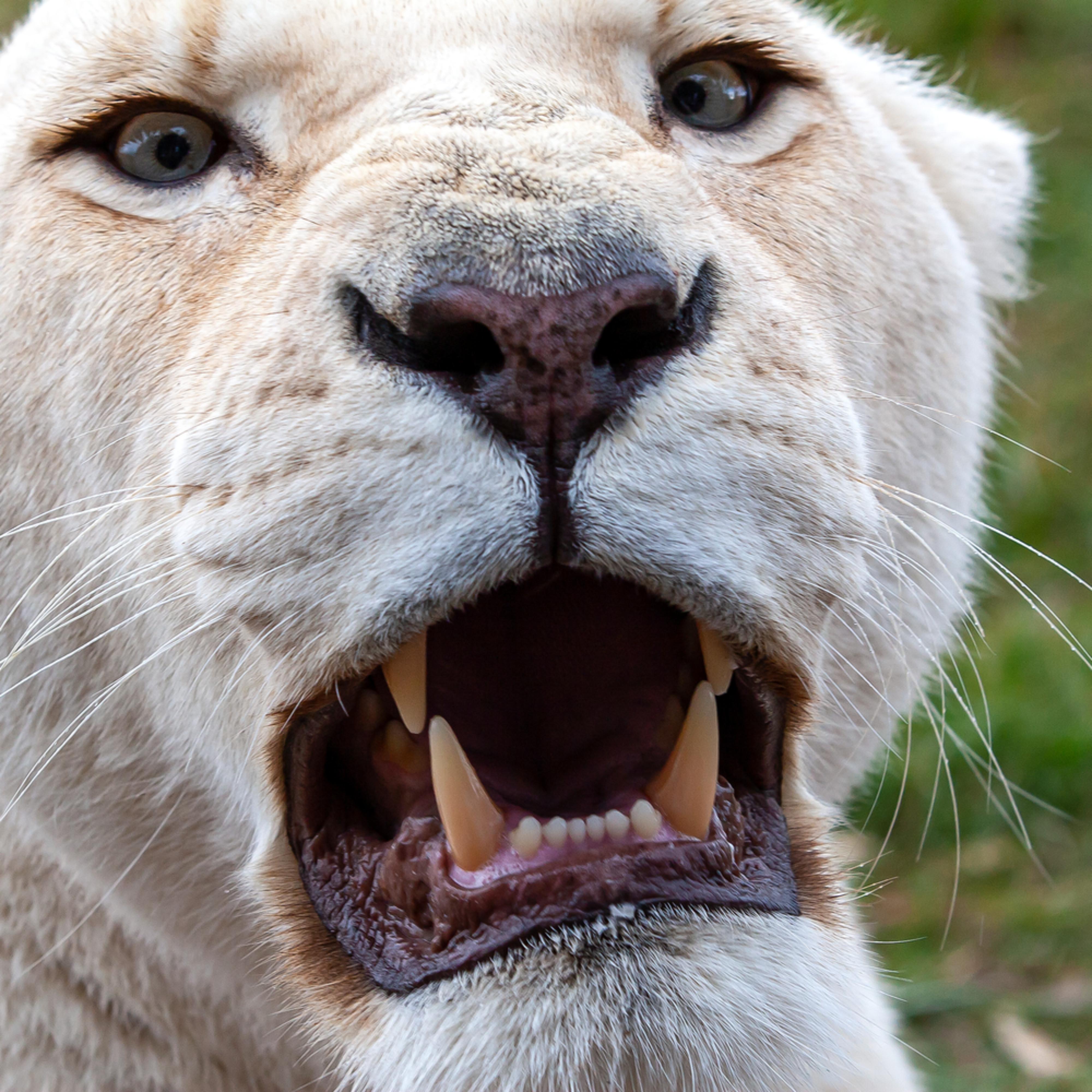 Lion vrtype