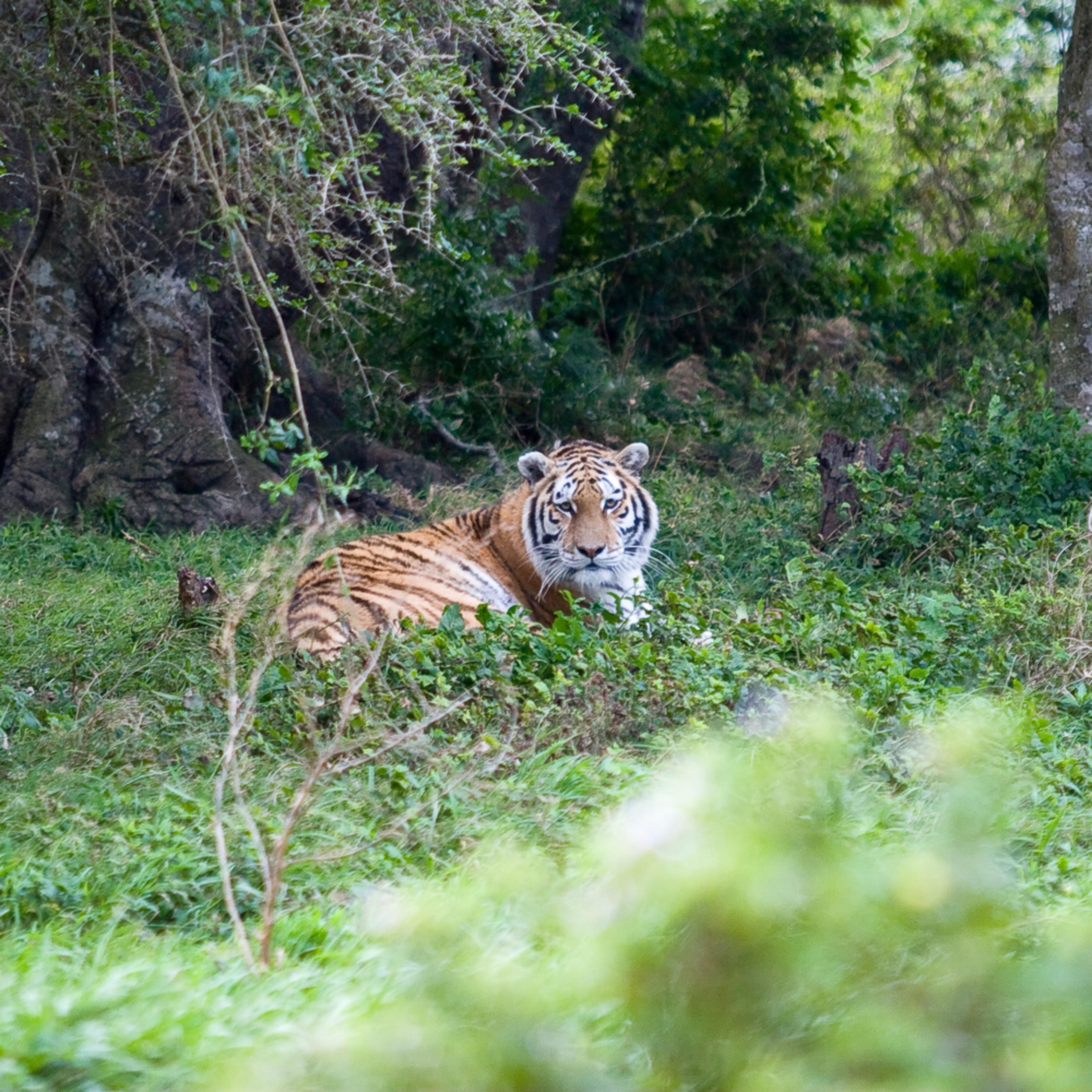 Tiger uymdoh
