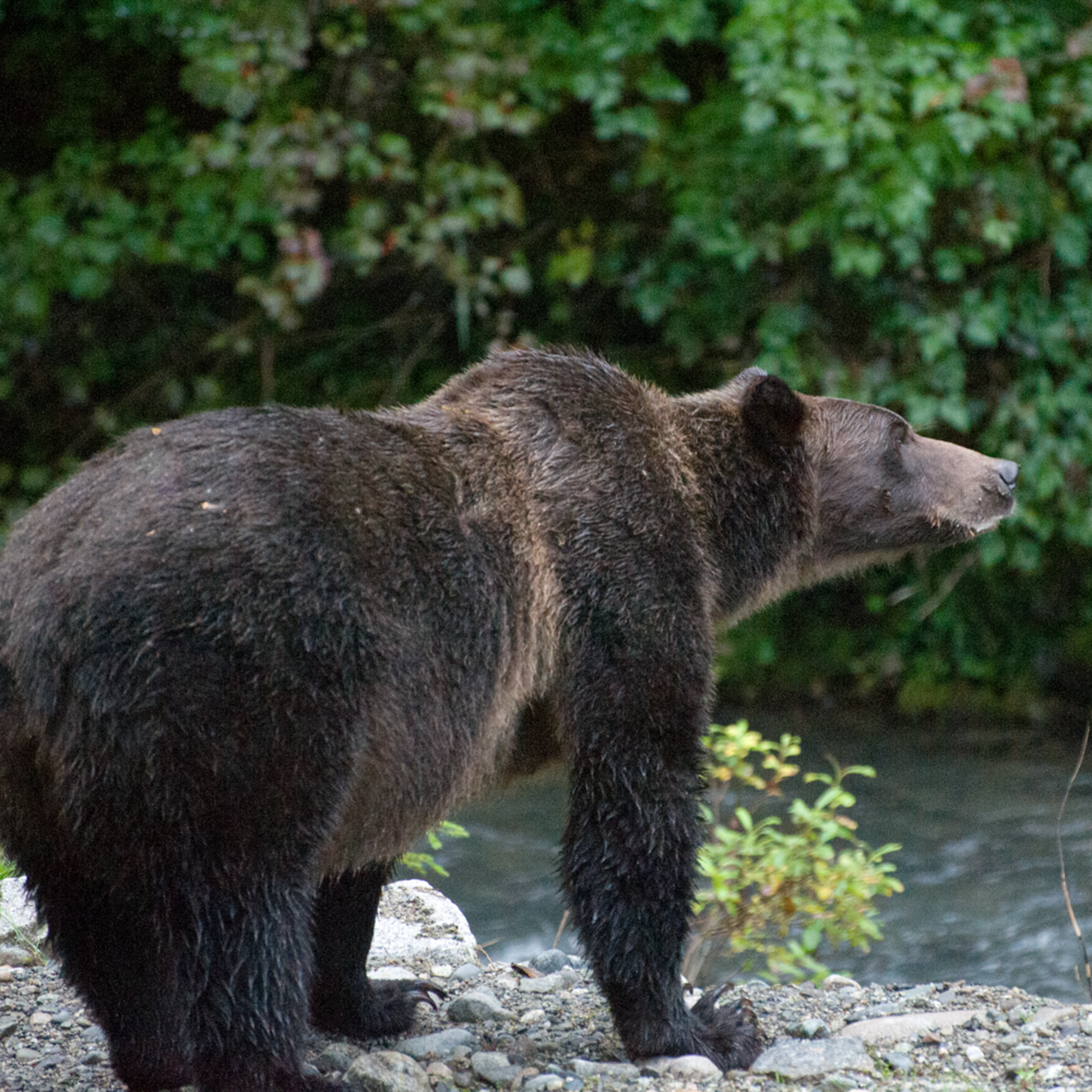 Dsc 5077 grizzly bear hunting  hr0cyc