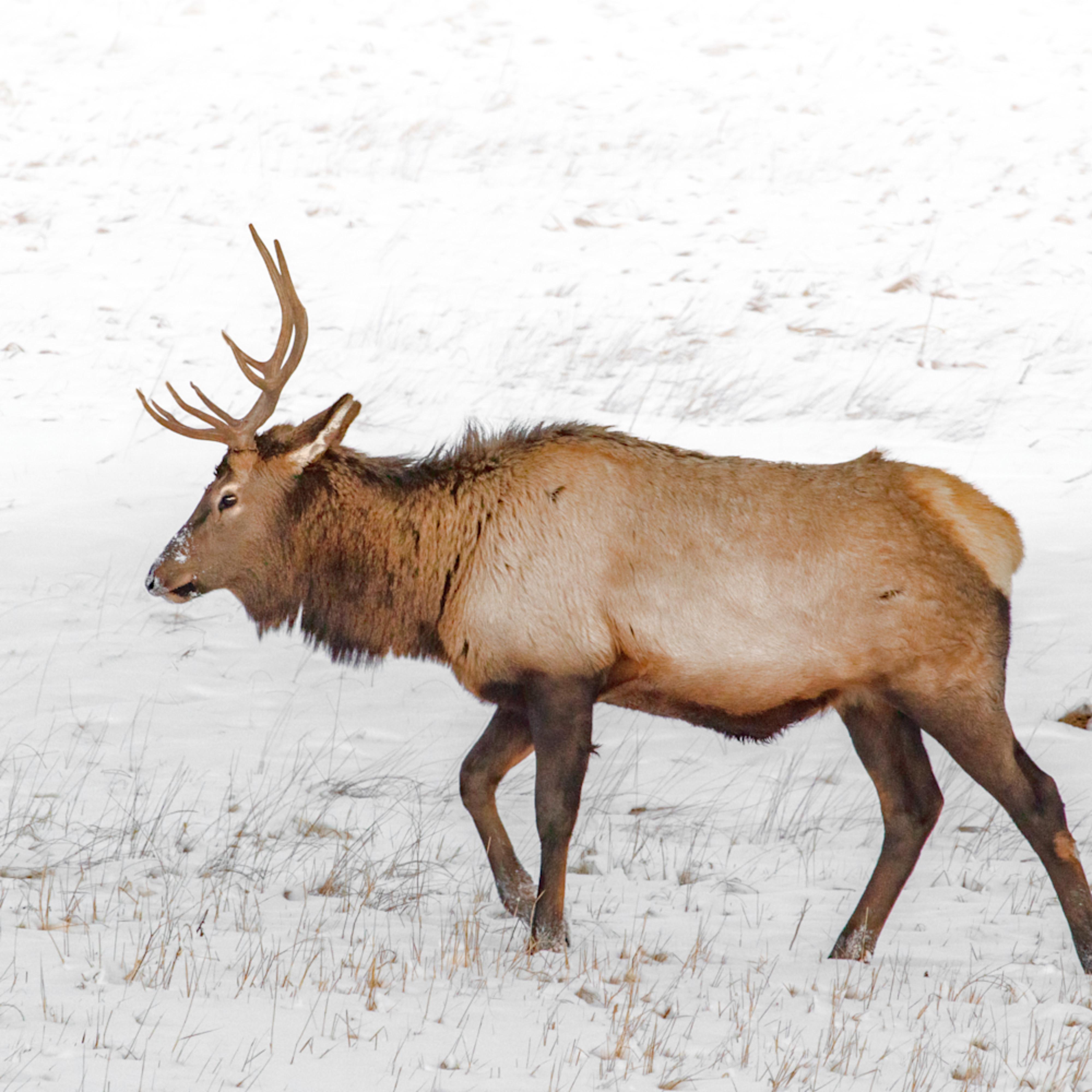 Rmnp snow elk highkey0632c20 fss zbqcre