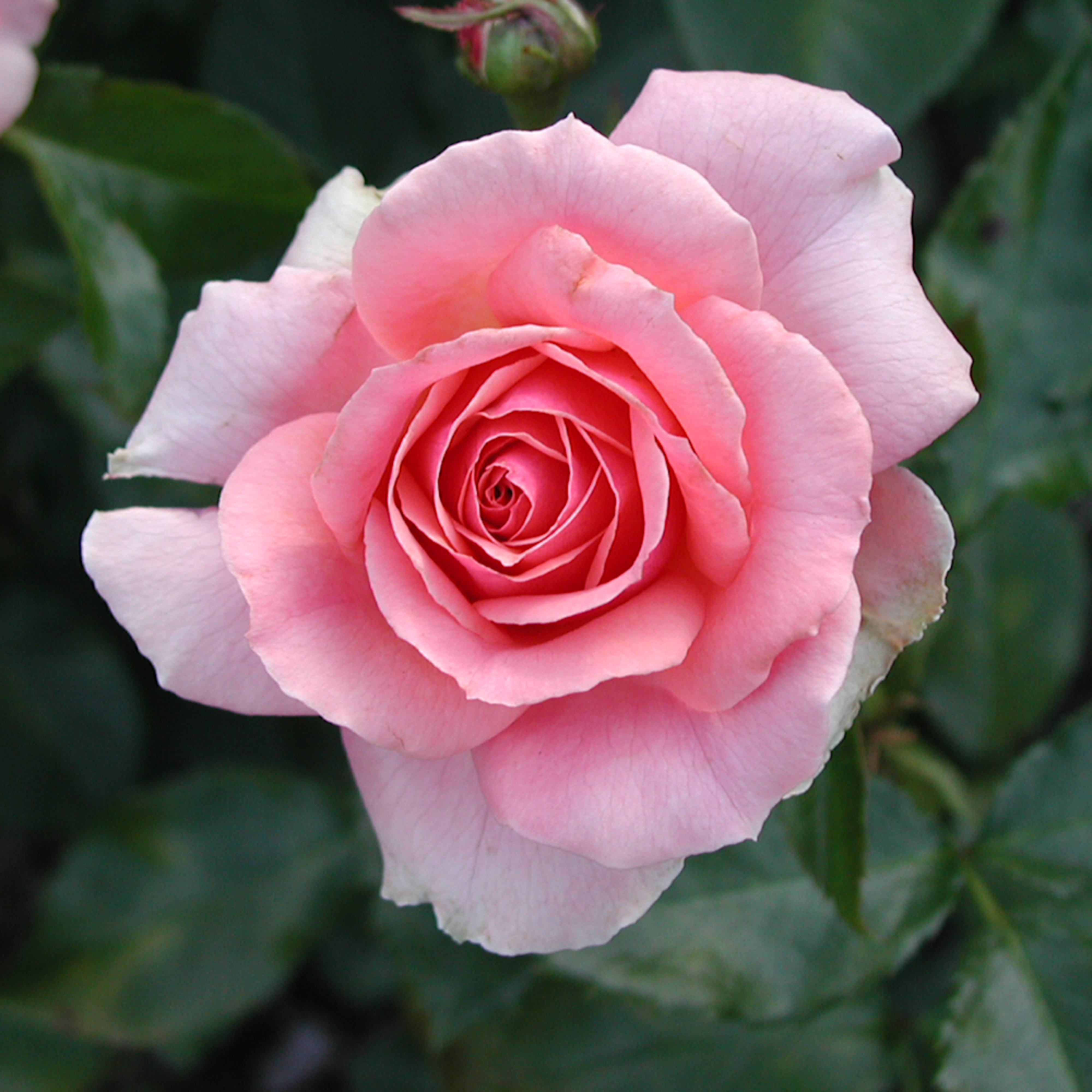 Natural rose zlucqs