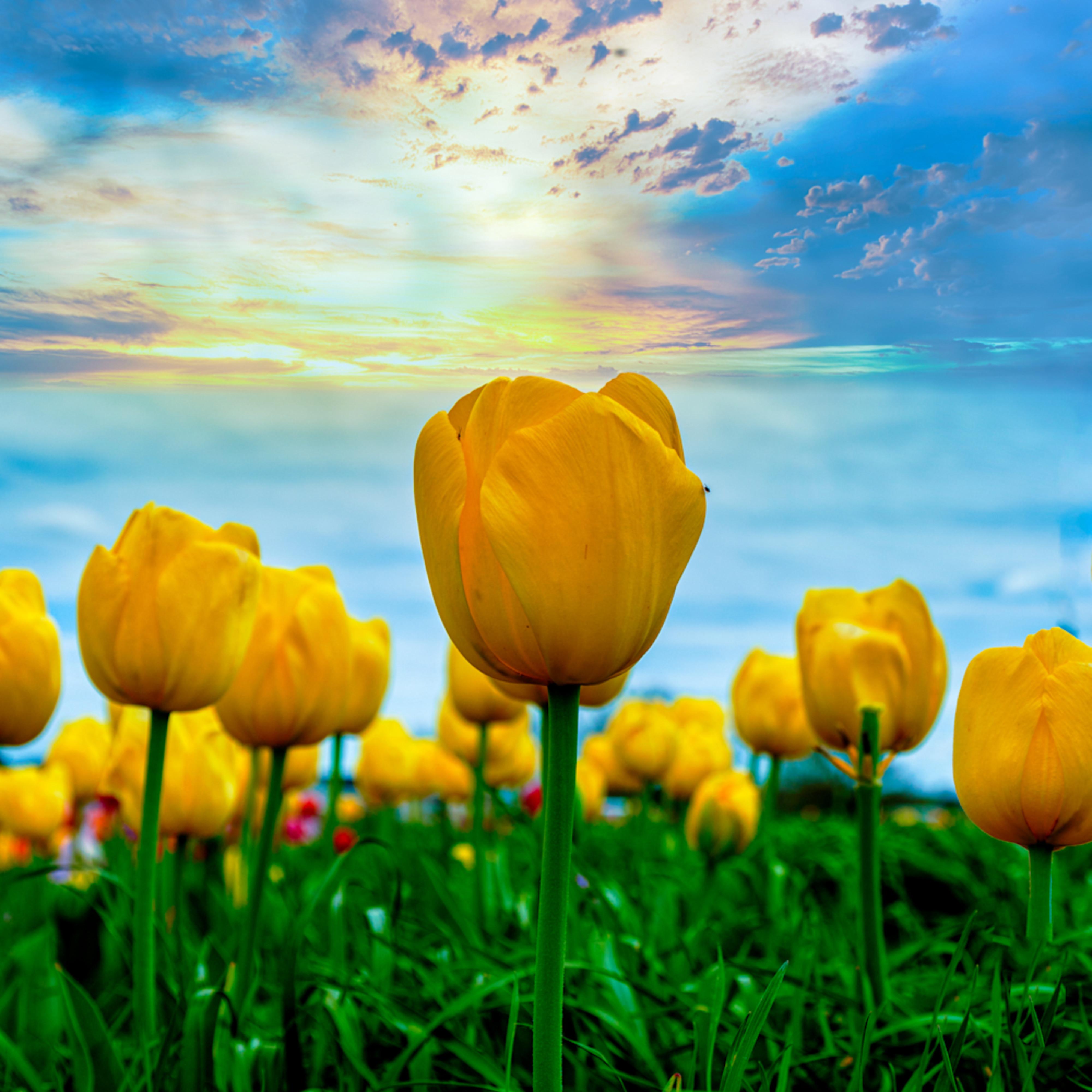 Tulips 2 x4c3hm