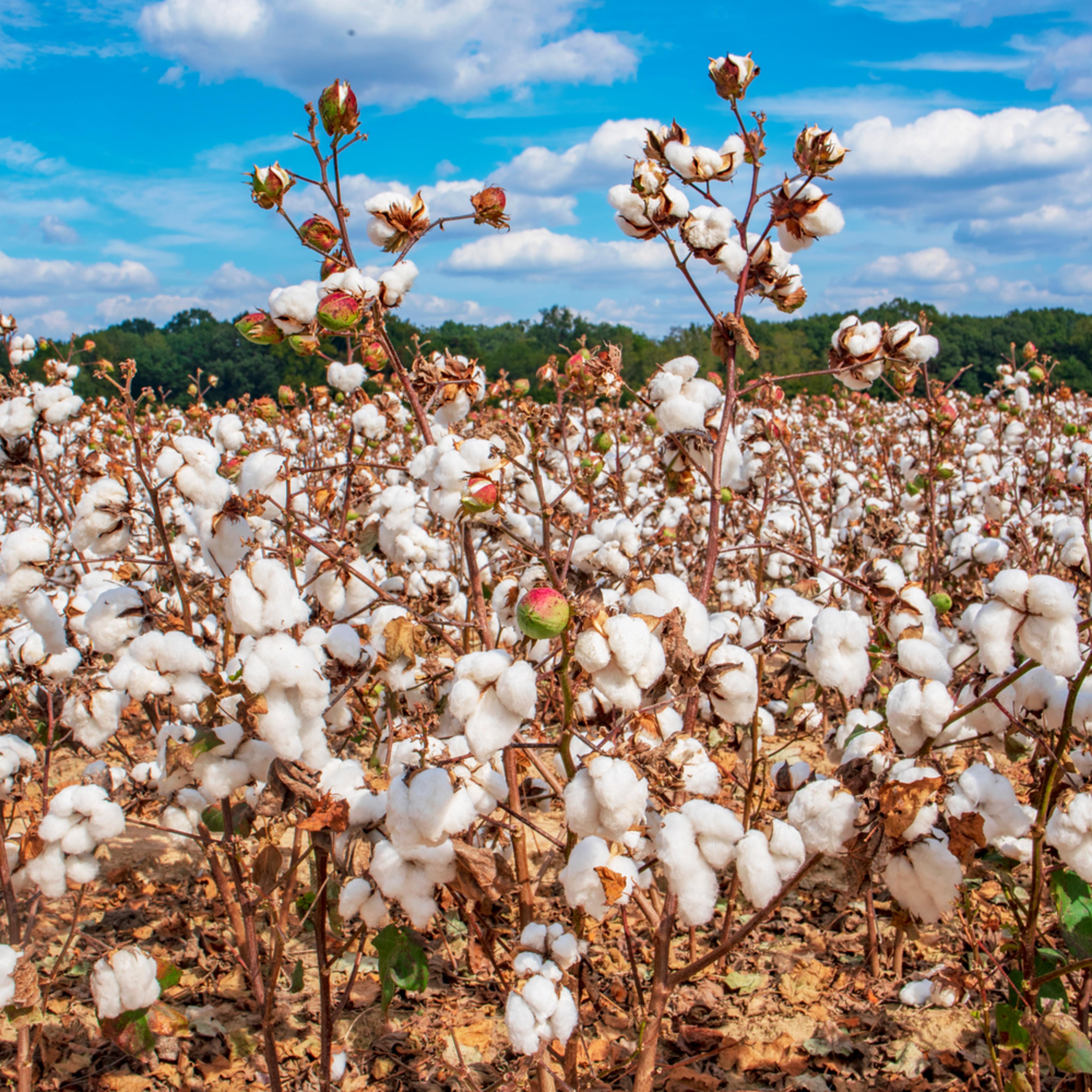 Cotton2 xatq3x