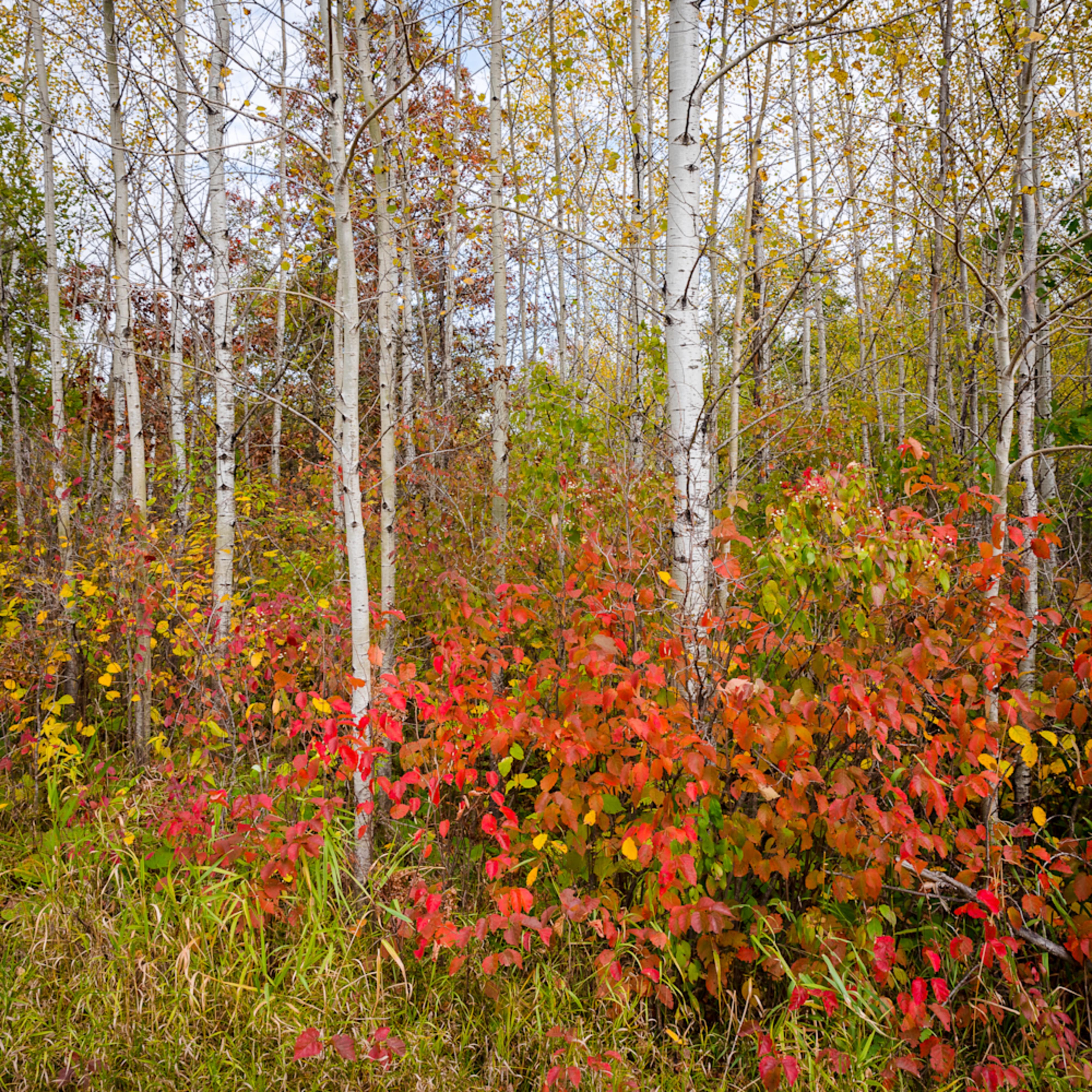 Fall birch forest iii vmqqsj