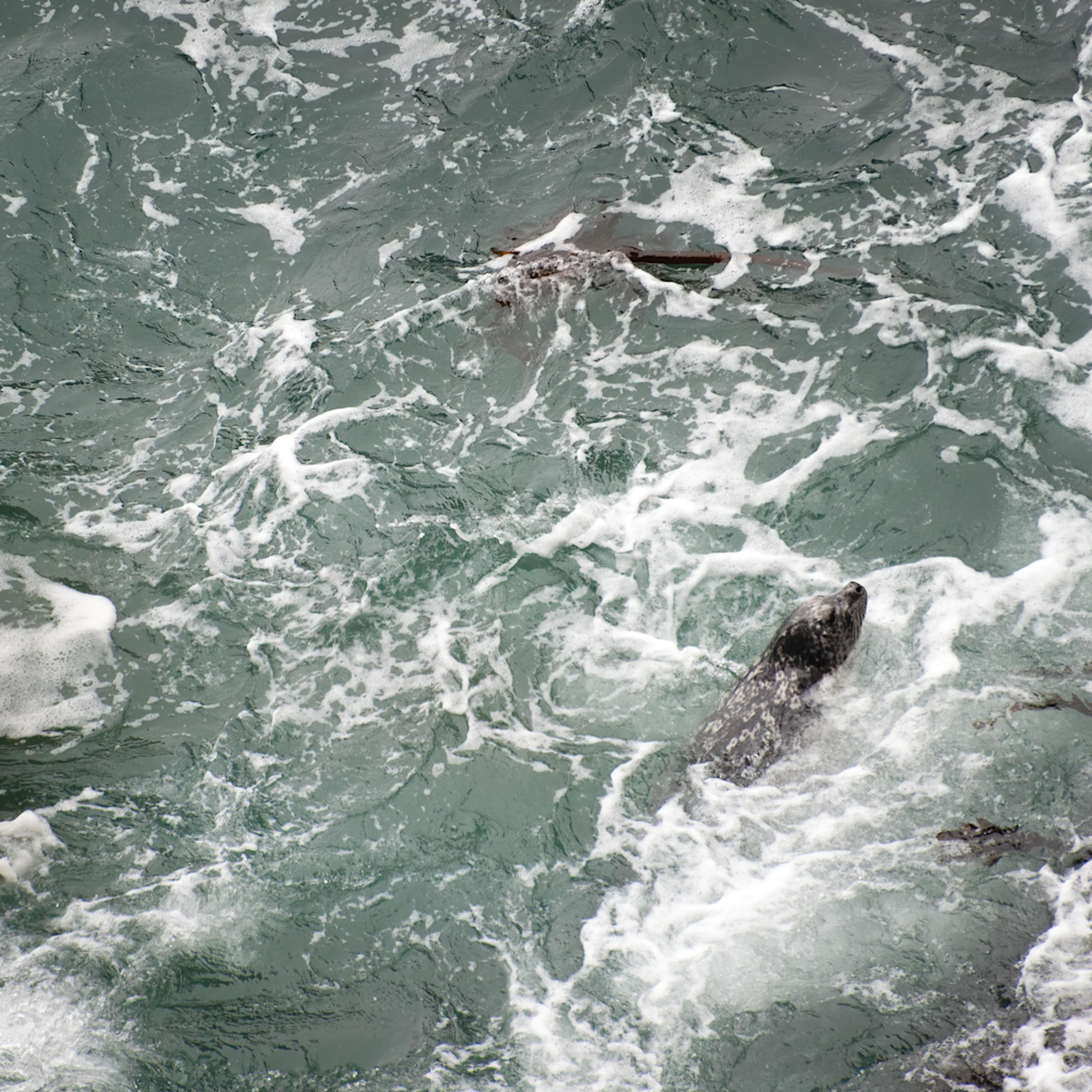 Harbor seal hunting yqd9u4