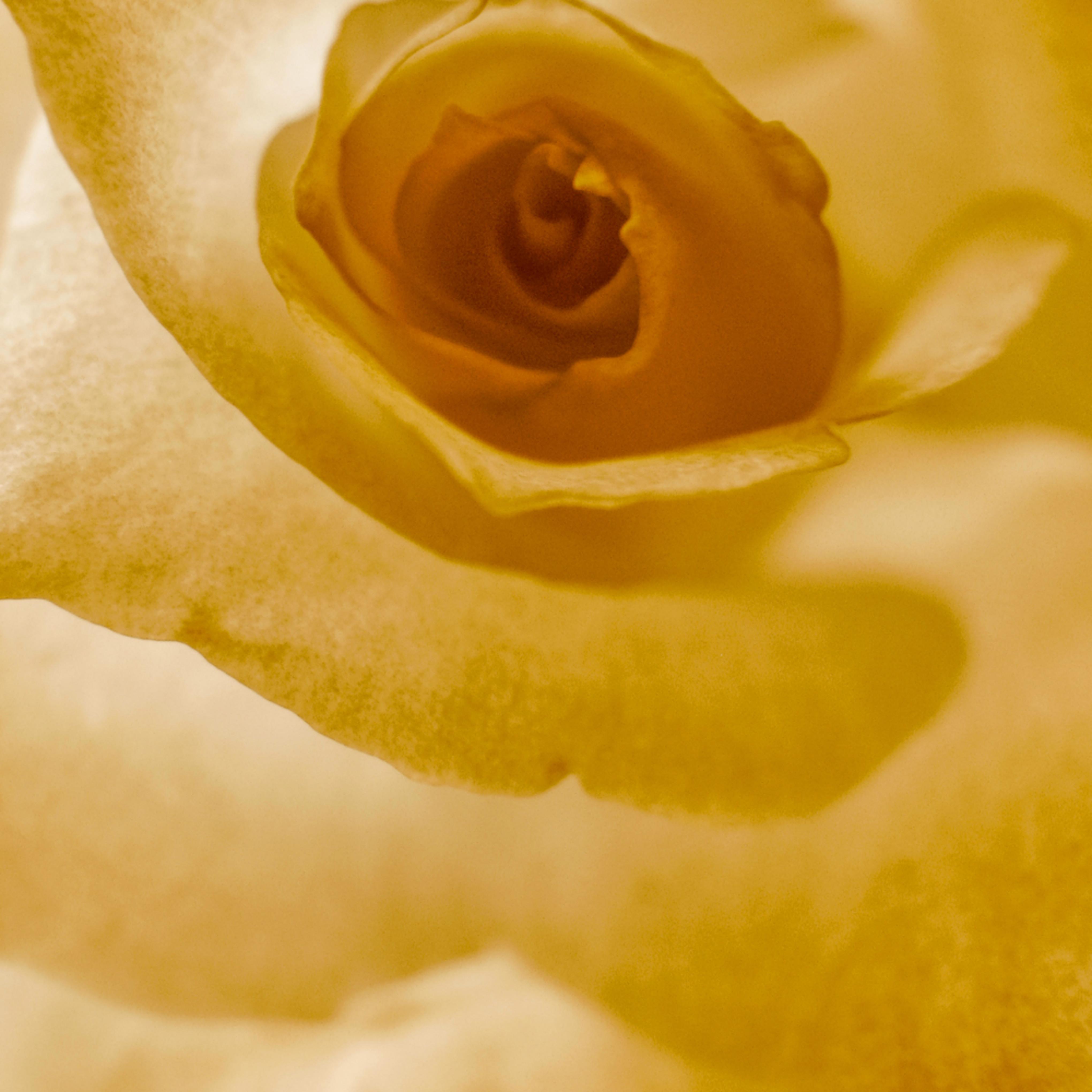 Rose in sepia ghmndi