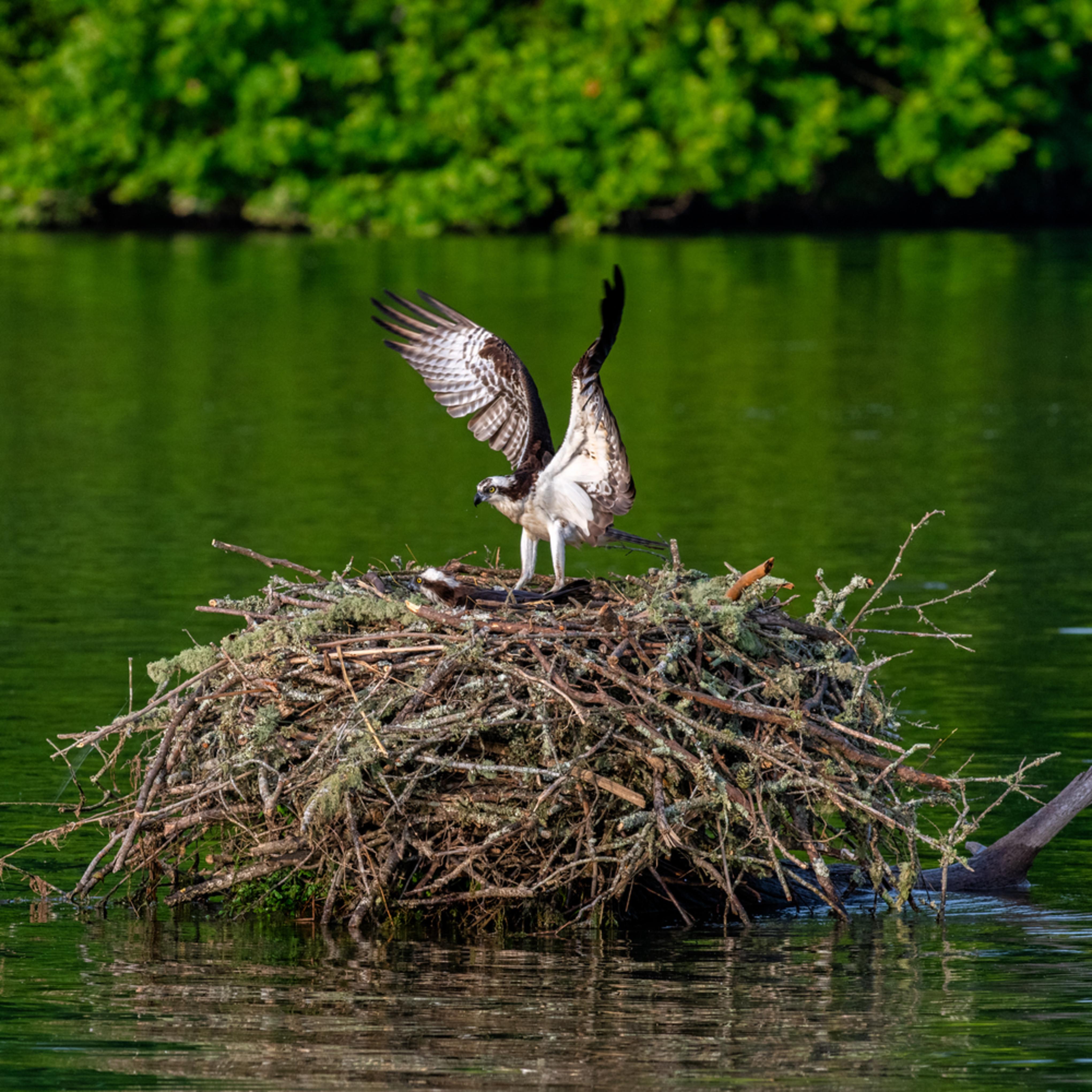 Andy crawford photography osprey 006 hceynw