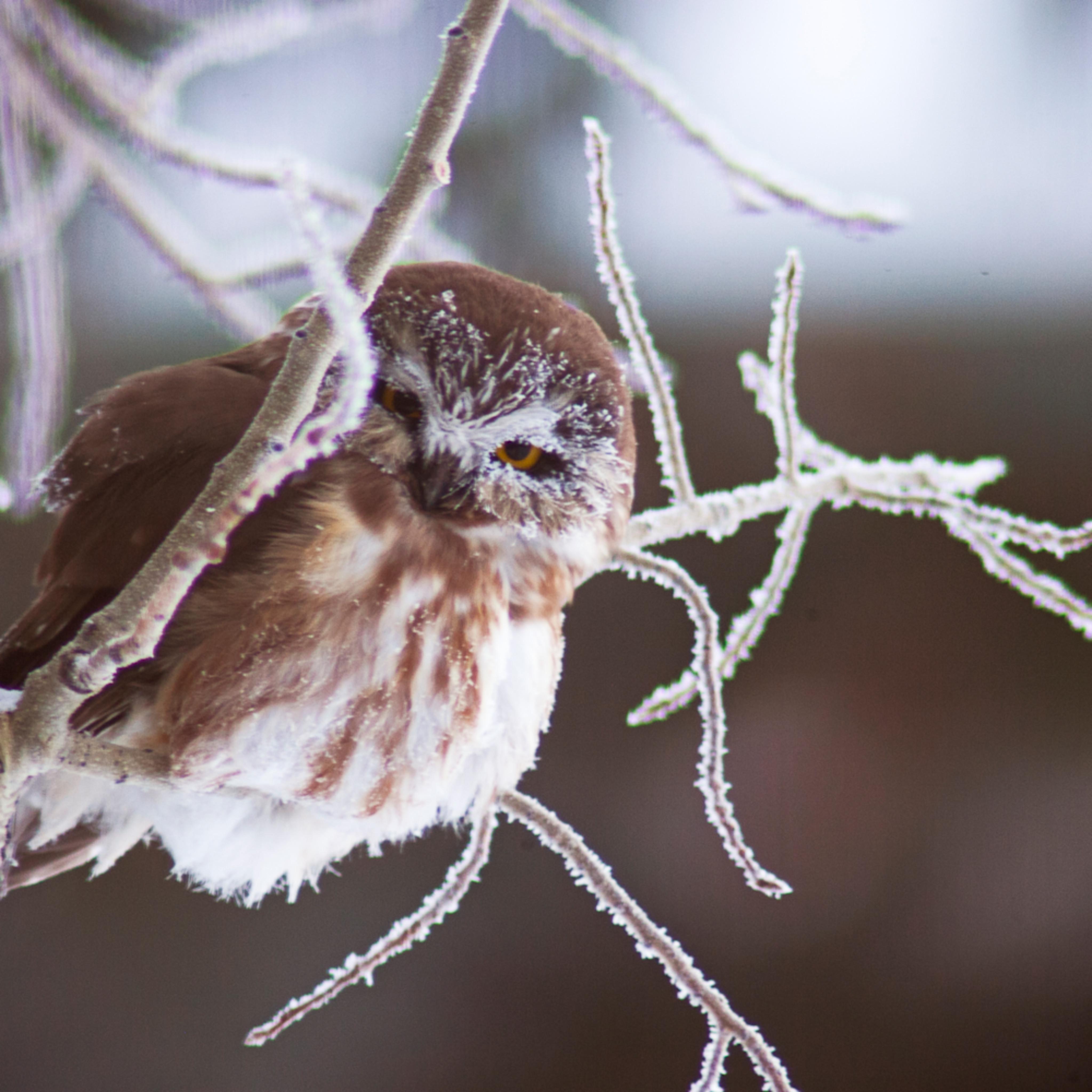 Saw whet owl jackson hole p4okte