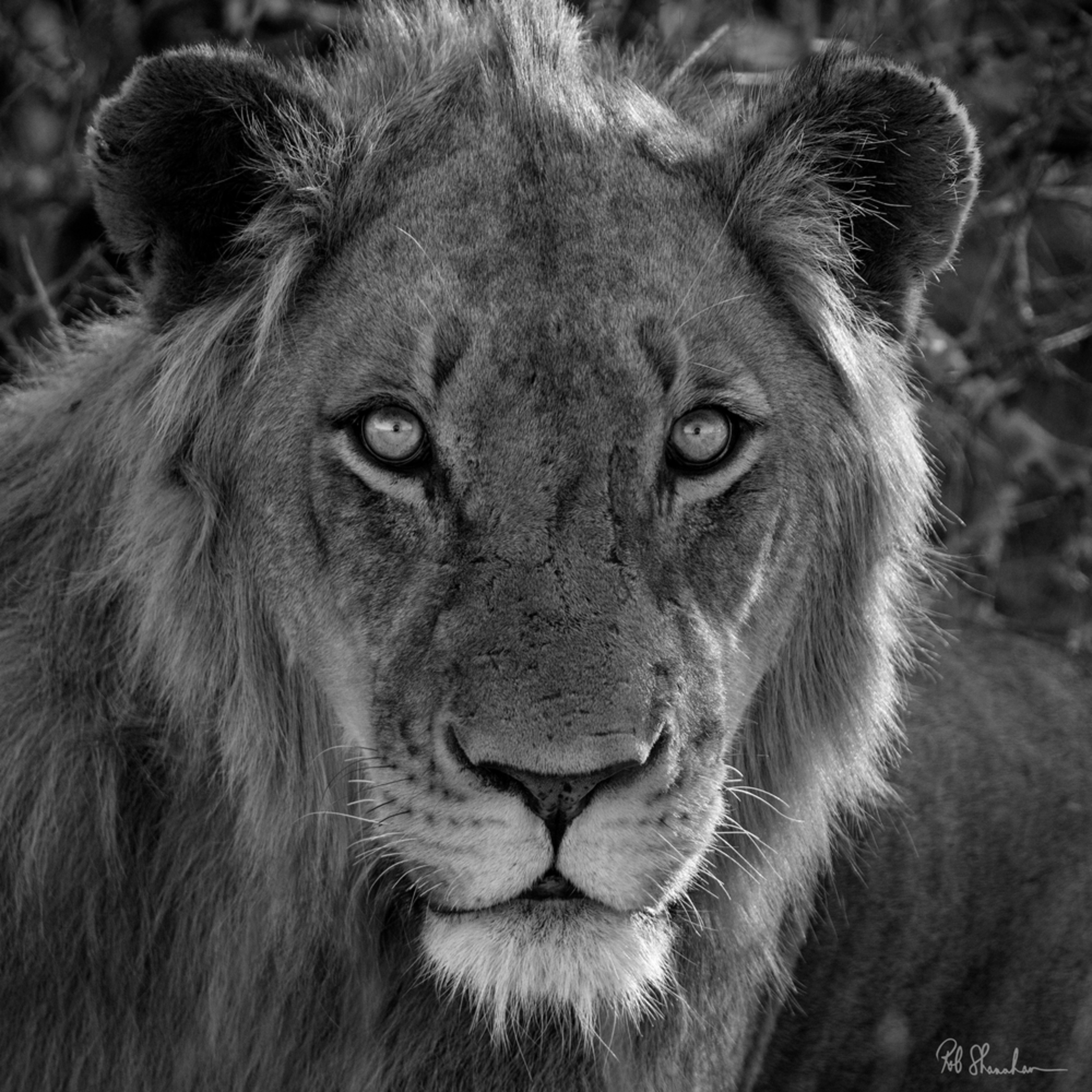 Lion bw square sig ykjo0v