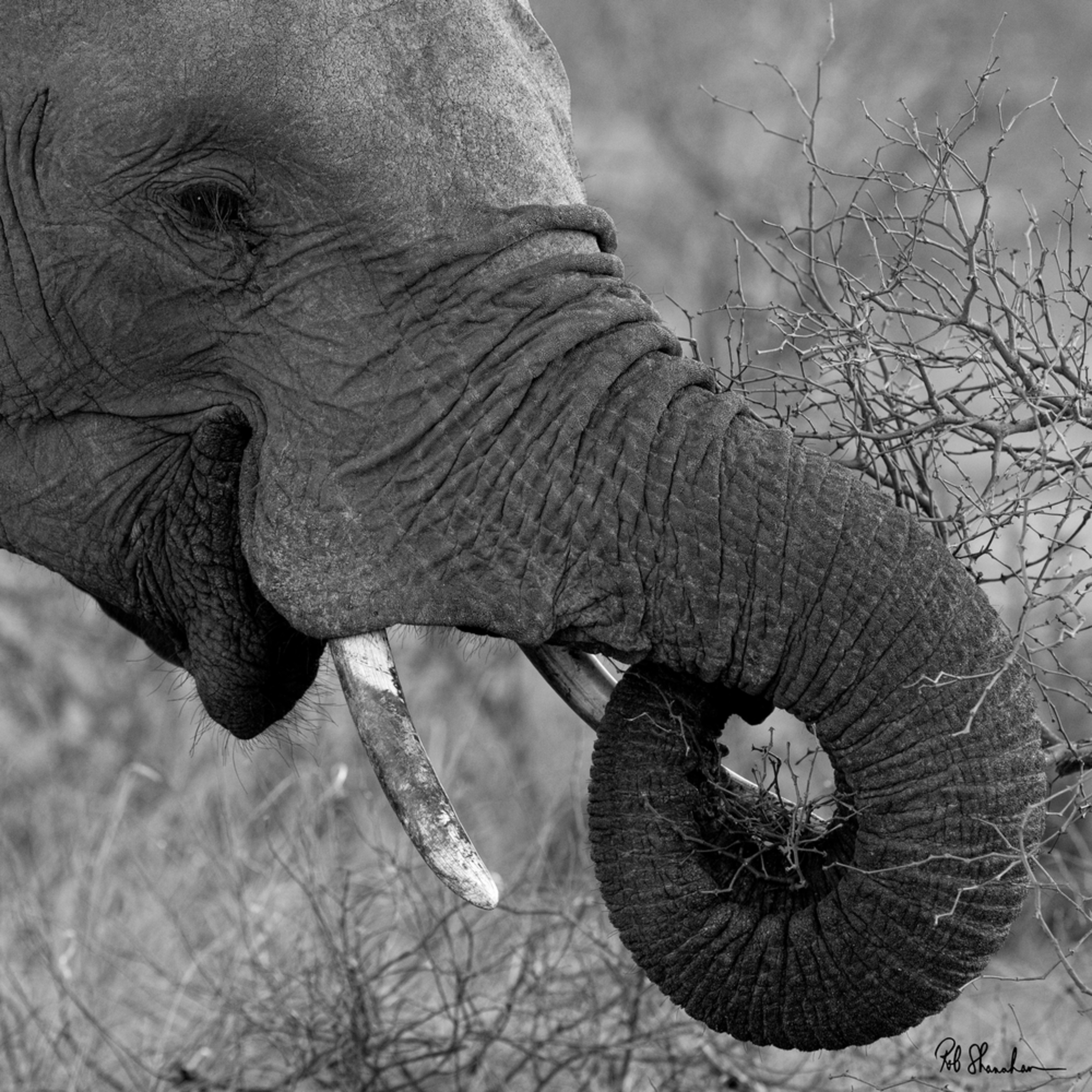 Elephant bw square hq6bjt