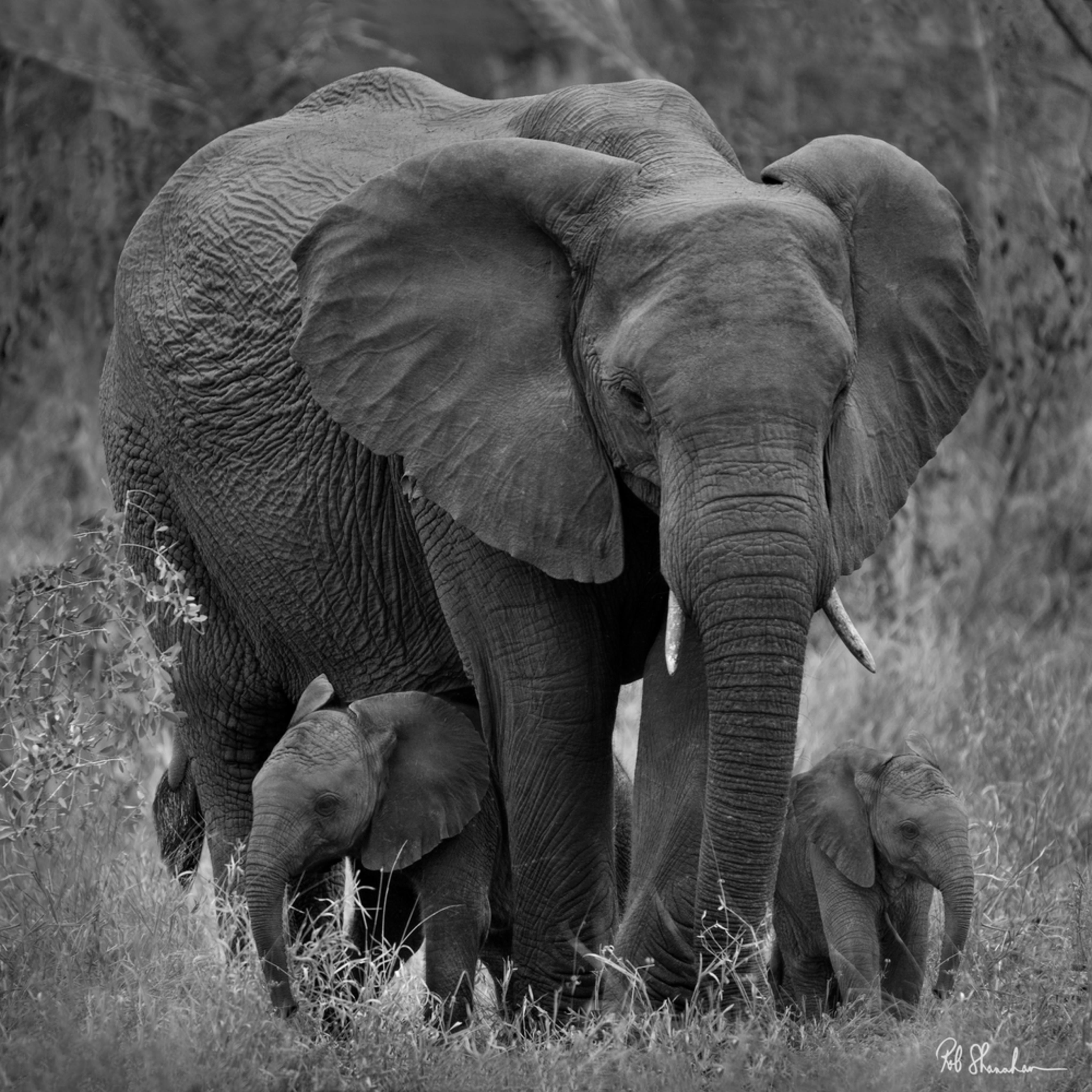 Elephant and 2 babies bw square sig nm5eb9