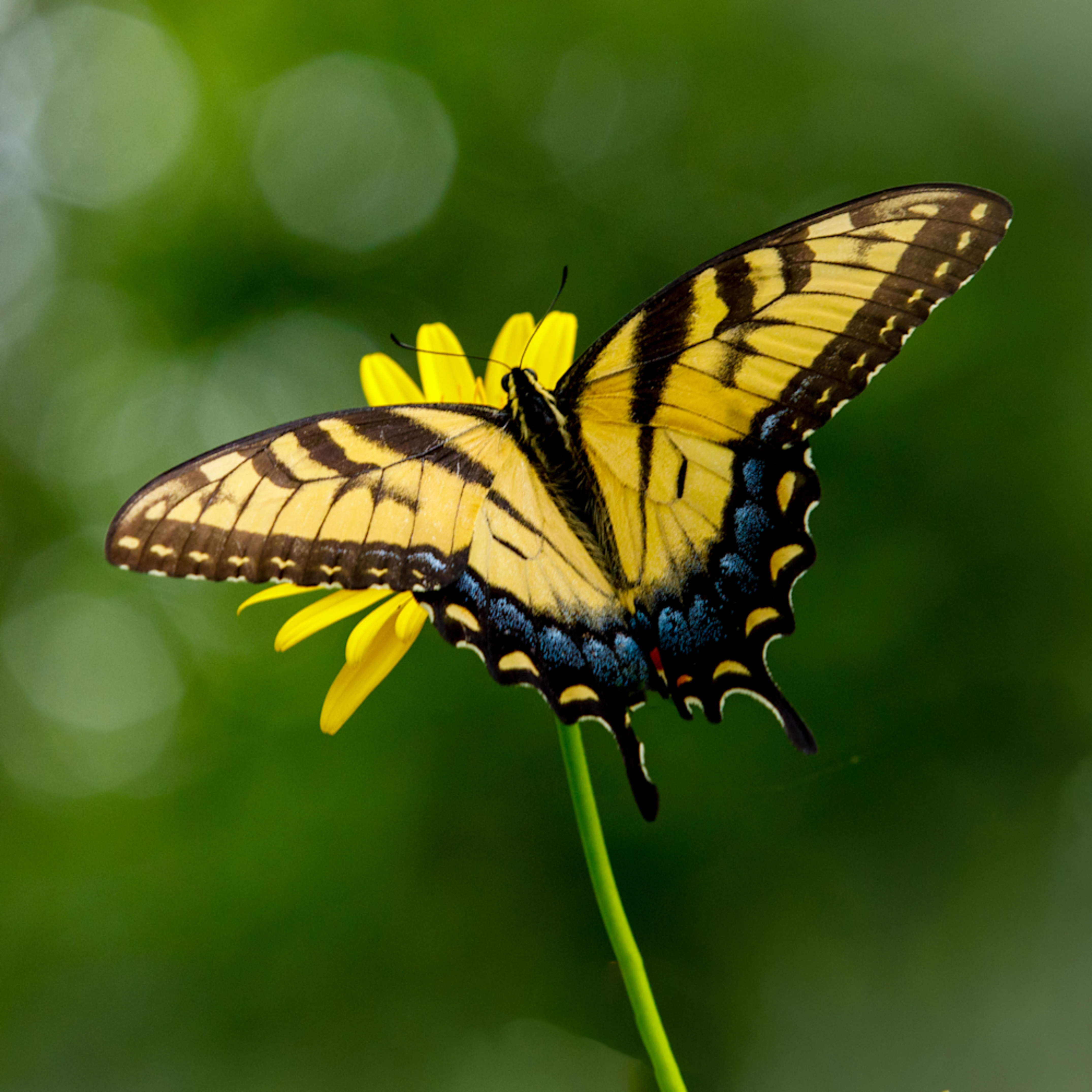 Tiger swallowtail wings spread   square crop 1 of 1 hm3ppr