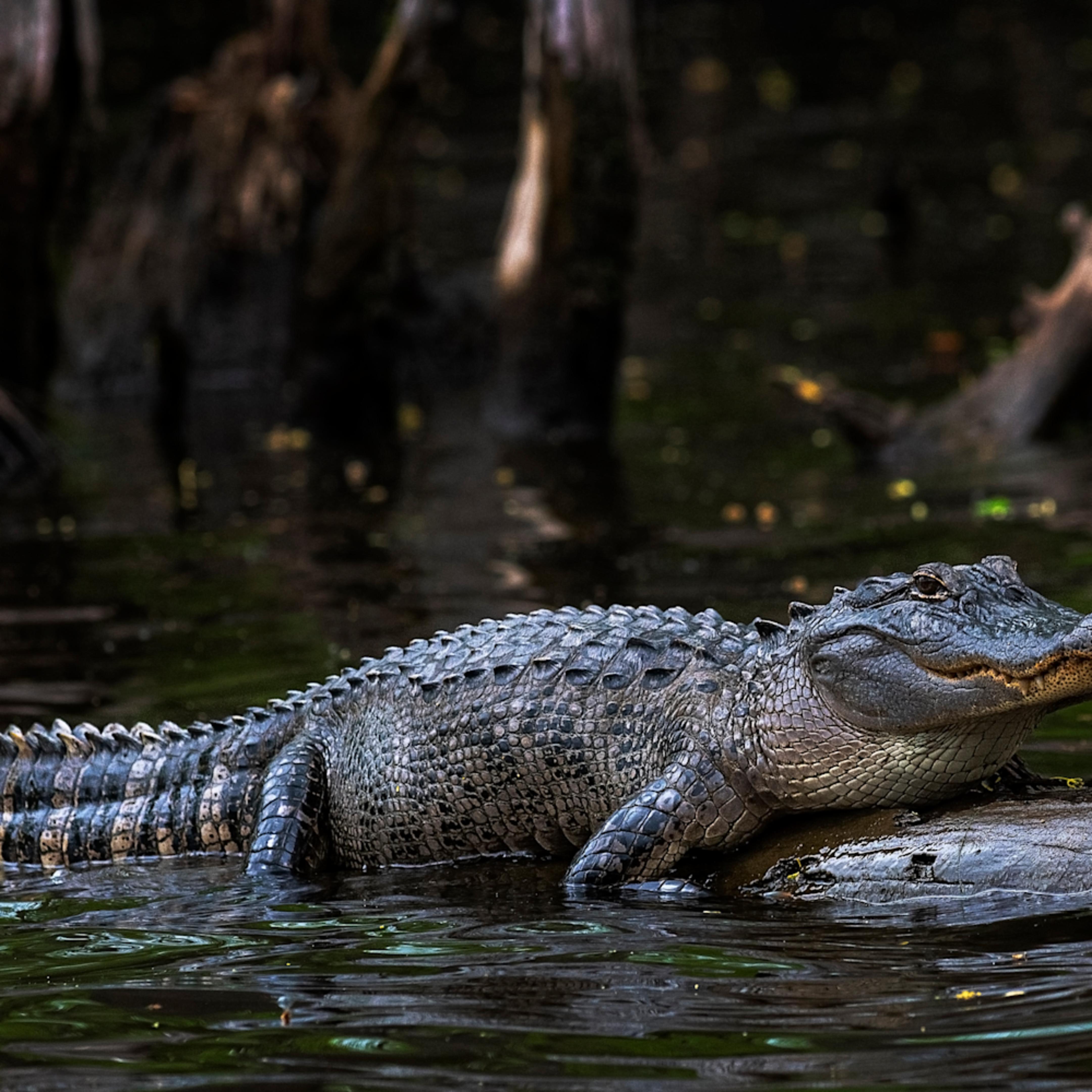 Andy crawford photography sunning alligator l6yr7h
