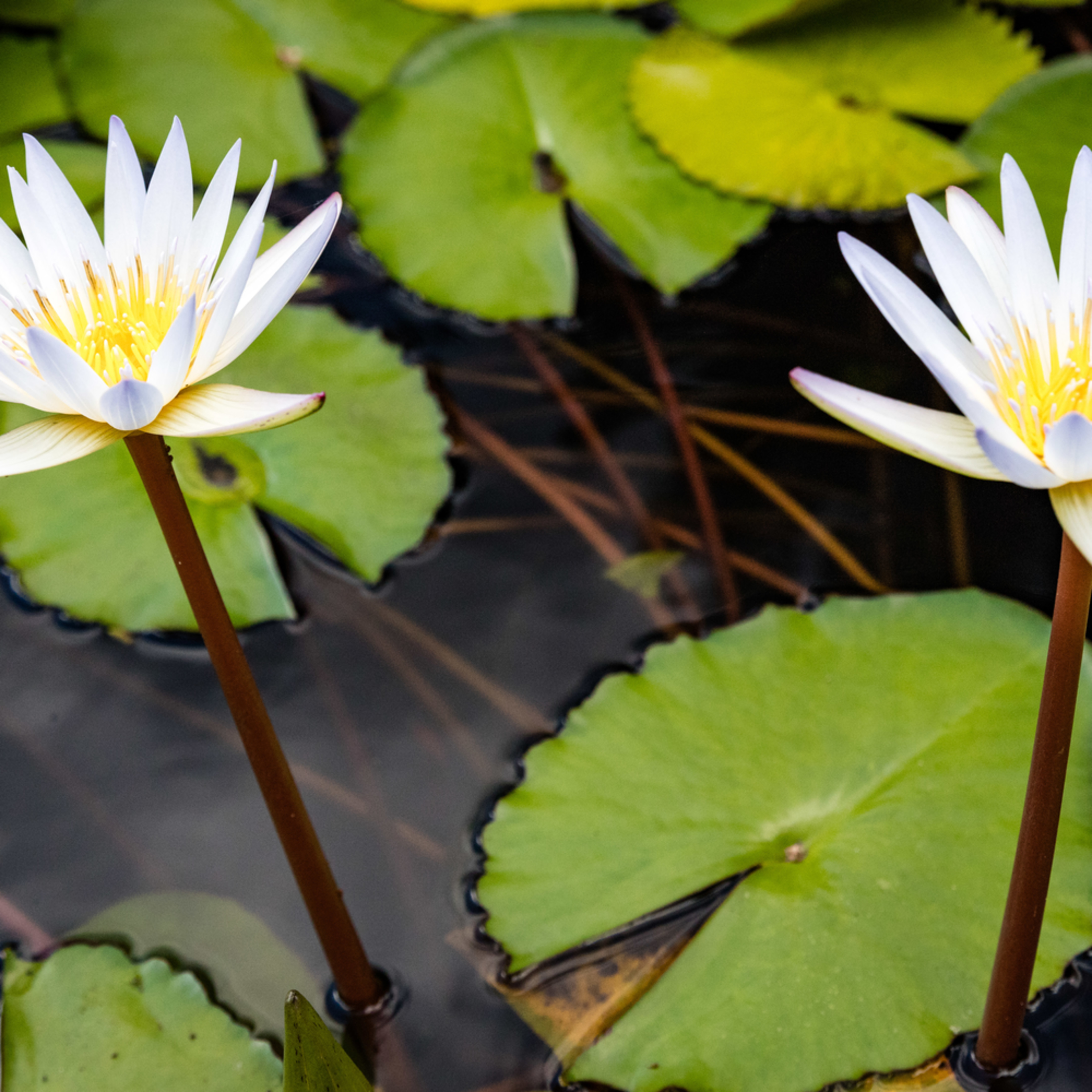 Lily lily mevtcf