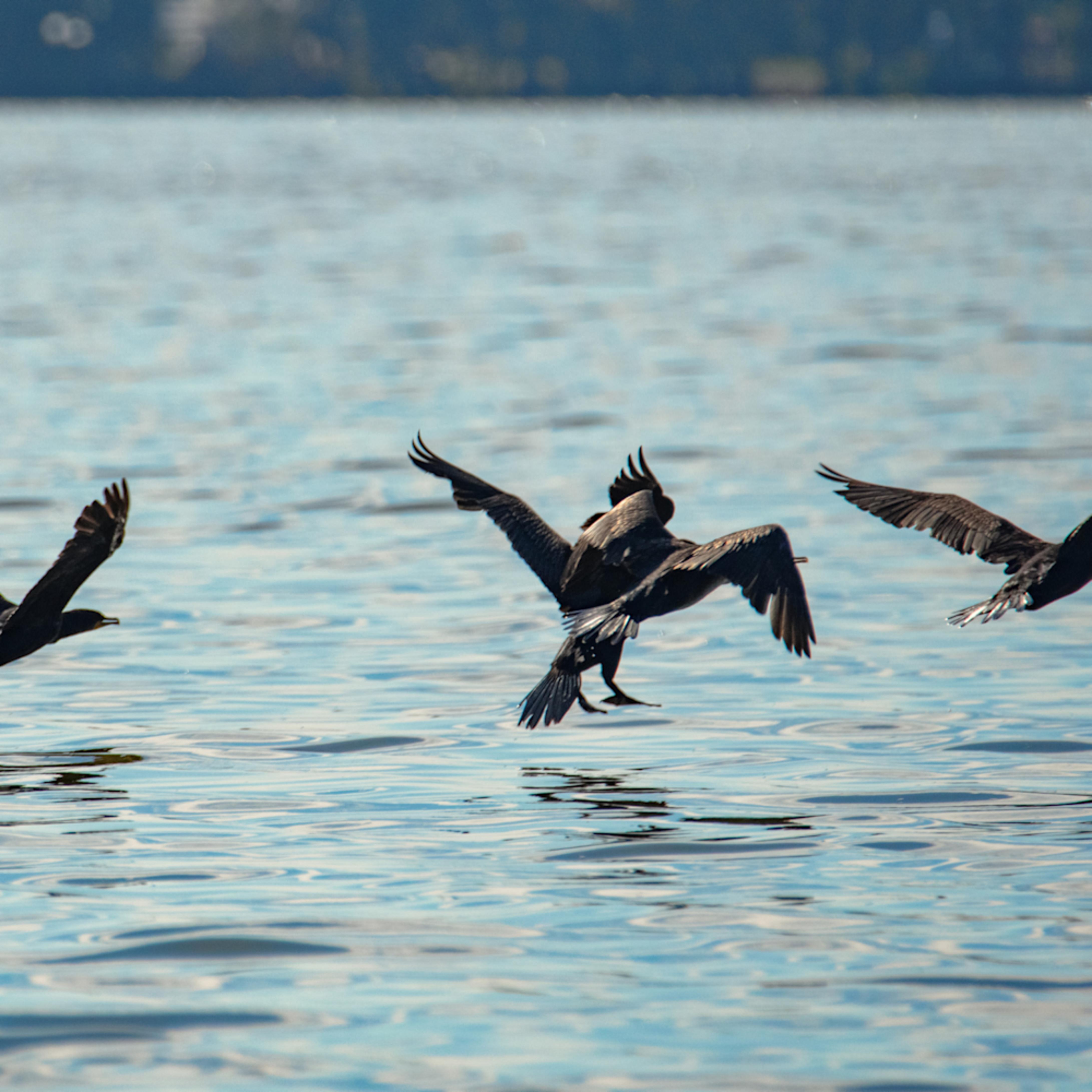 Cormorants takingflight 8768 fss dn4sdi